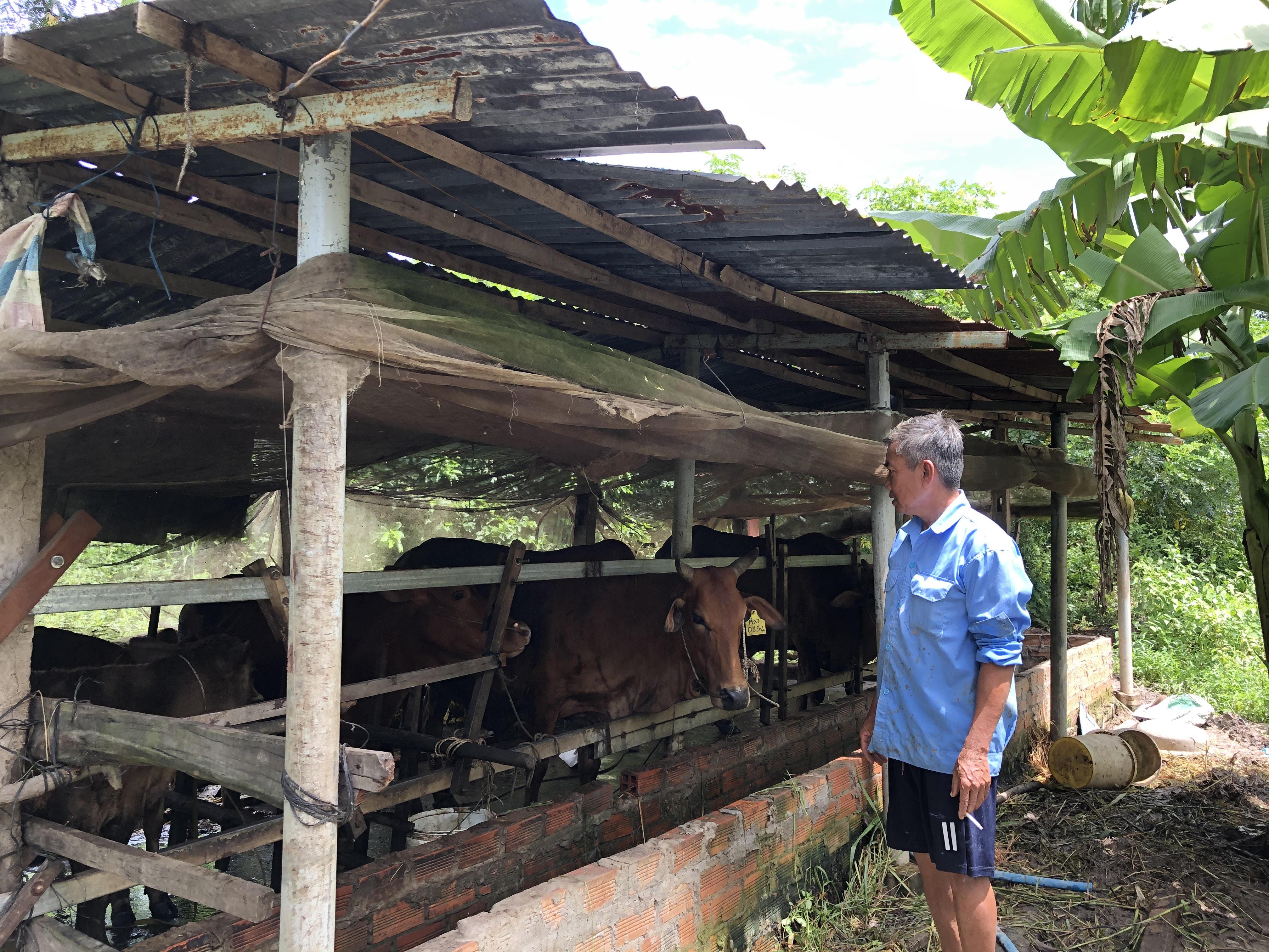 Hộ gia đình điển hình trong sử dụng hiệu quả nguồn vốn vào việc chăn nuôi bò ở huyện Mỹ Xuyên.