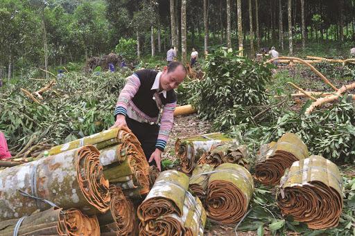 Người dân xã An Lương, huyện Văn Chấn thu hoạch quế. (Ảnh nguồn Ban Dân tộc Yên Bái).