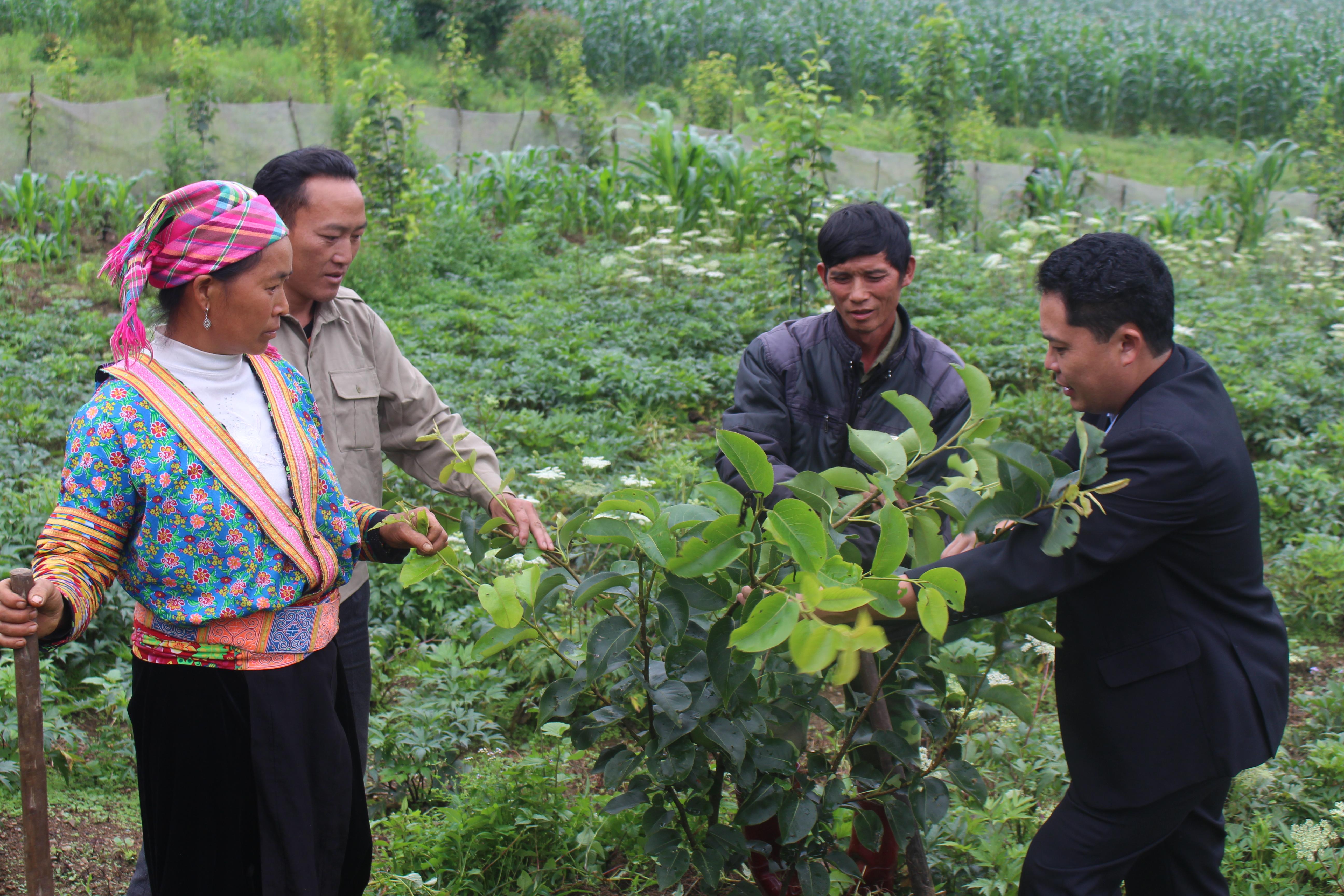 Cán bộ xã Xuân Thượng, huyện Bảo Yên hướng dẫn đồng bào DTTS chăm sóc cây ổi.
