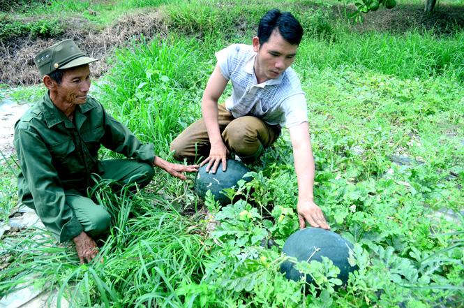 Già làng Vàng Seo Giáo cùng con trai kiểm tra vườn dưa hấu của gia đình.