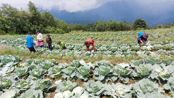 Người dân Phan Cán Sử thu hoạch rau cải bắp