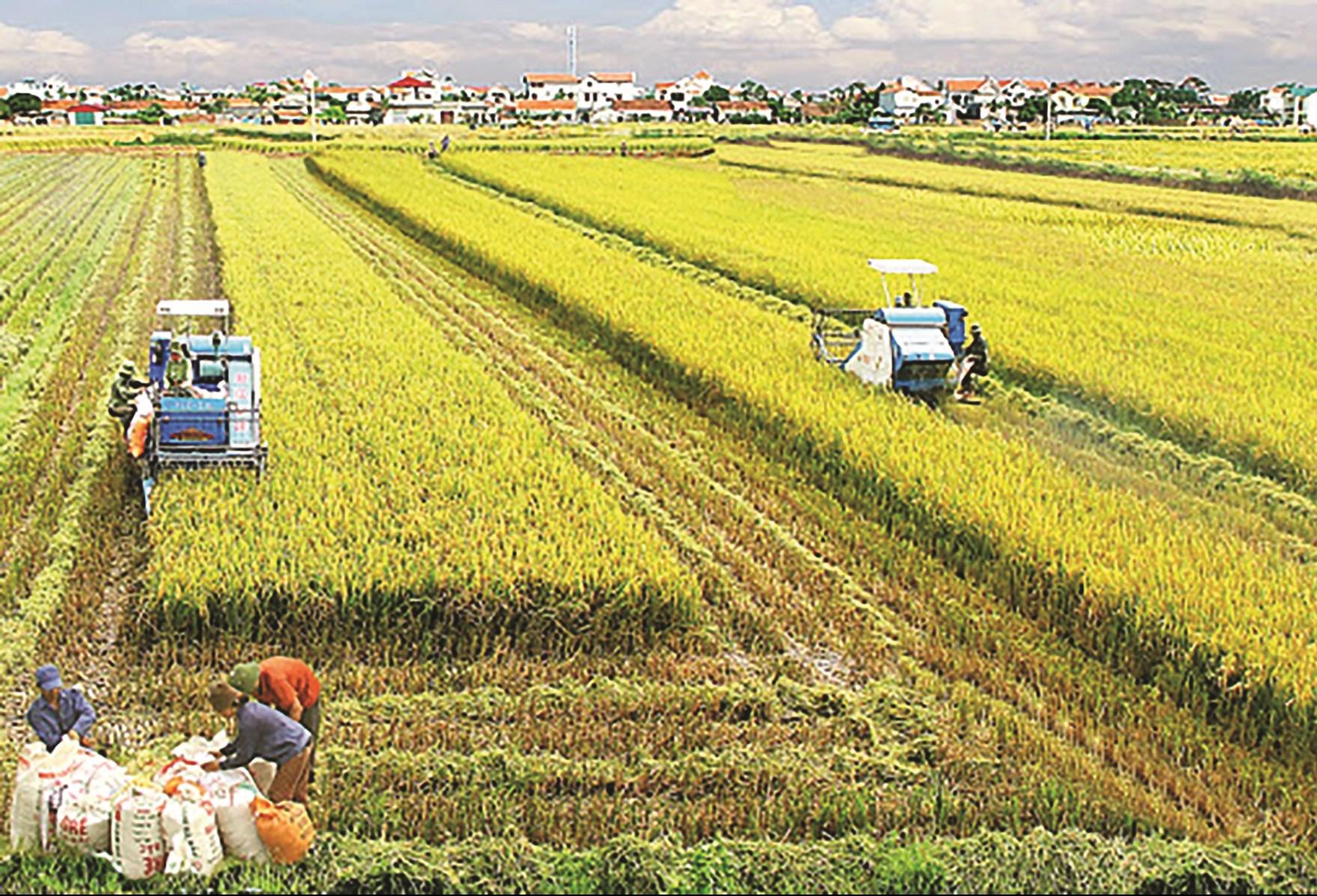 Diện tích lúa Đông - Xuân năm nay giảm do ảnh hưởng bởi hạn, mặn. (Ảnh: MH)