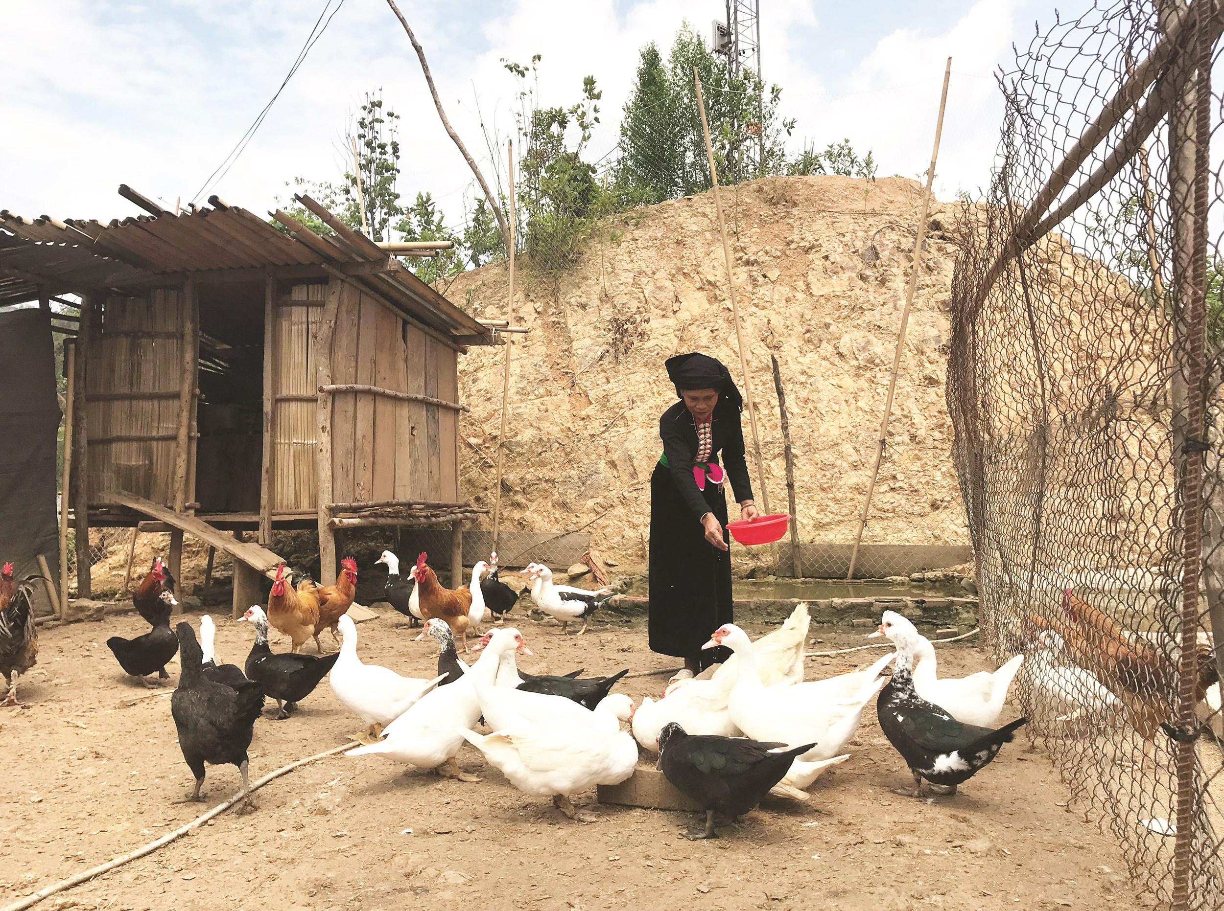 Bà Lò Thị Nhẫn đang chăm sóc đàn vật nuôi của gia đình.