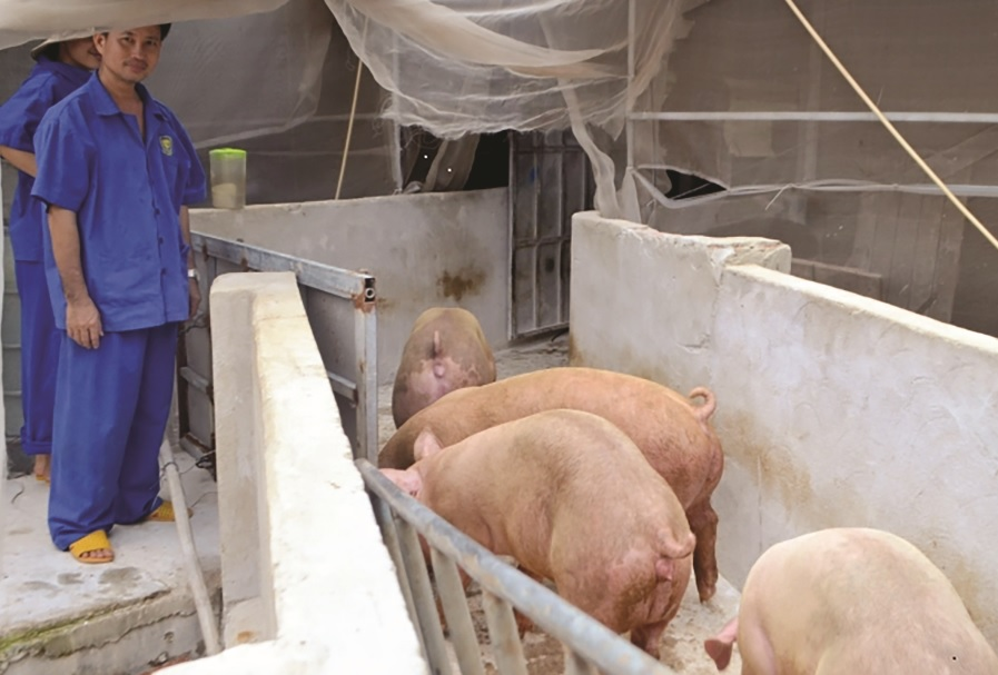Đàn lợn của anh Nguyễn Thanh Đảm đang sinh trưởng, phát triển tốt