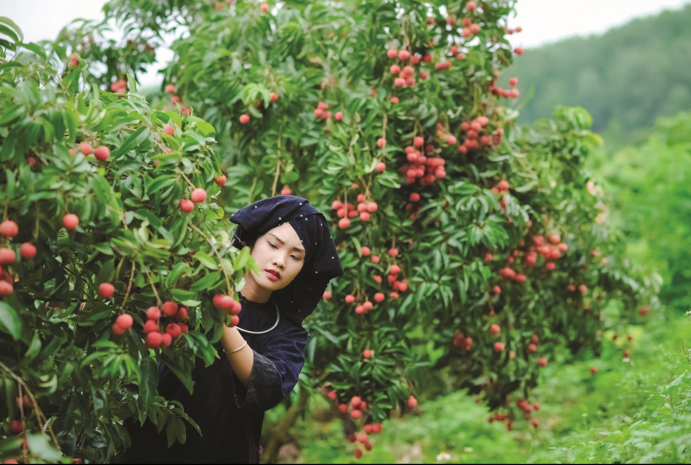Vải thiều xuất khẩu sang Nhật Bản là điểm sáng lớn của ngành Nông nghiệp