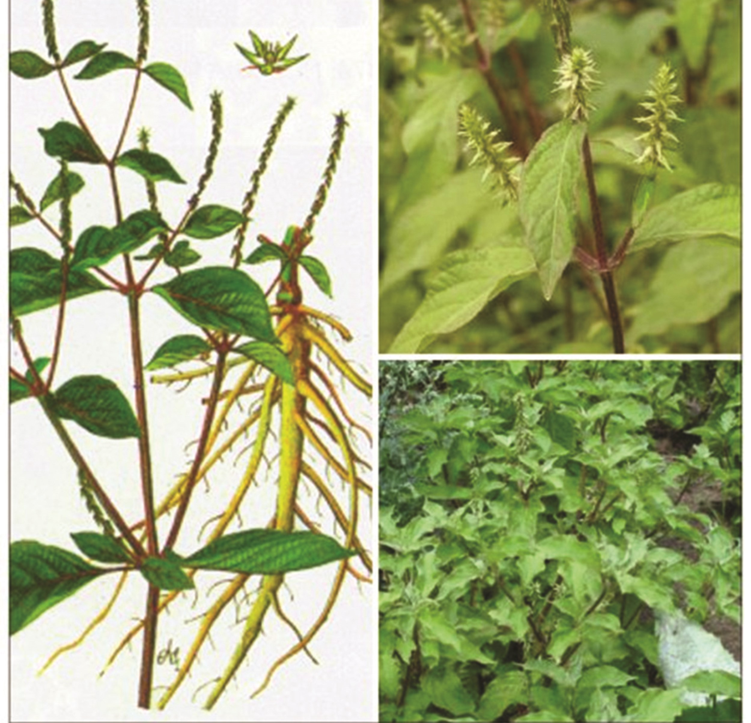 Tác dụng chữa bệnh của cỏ xước