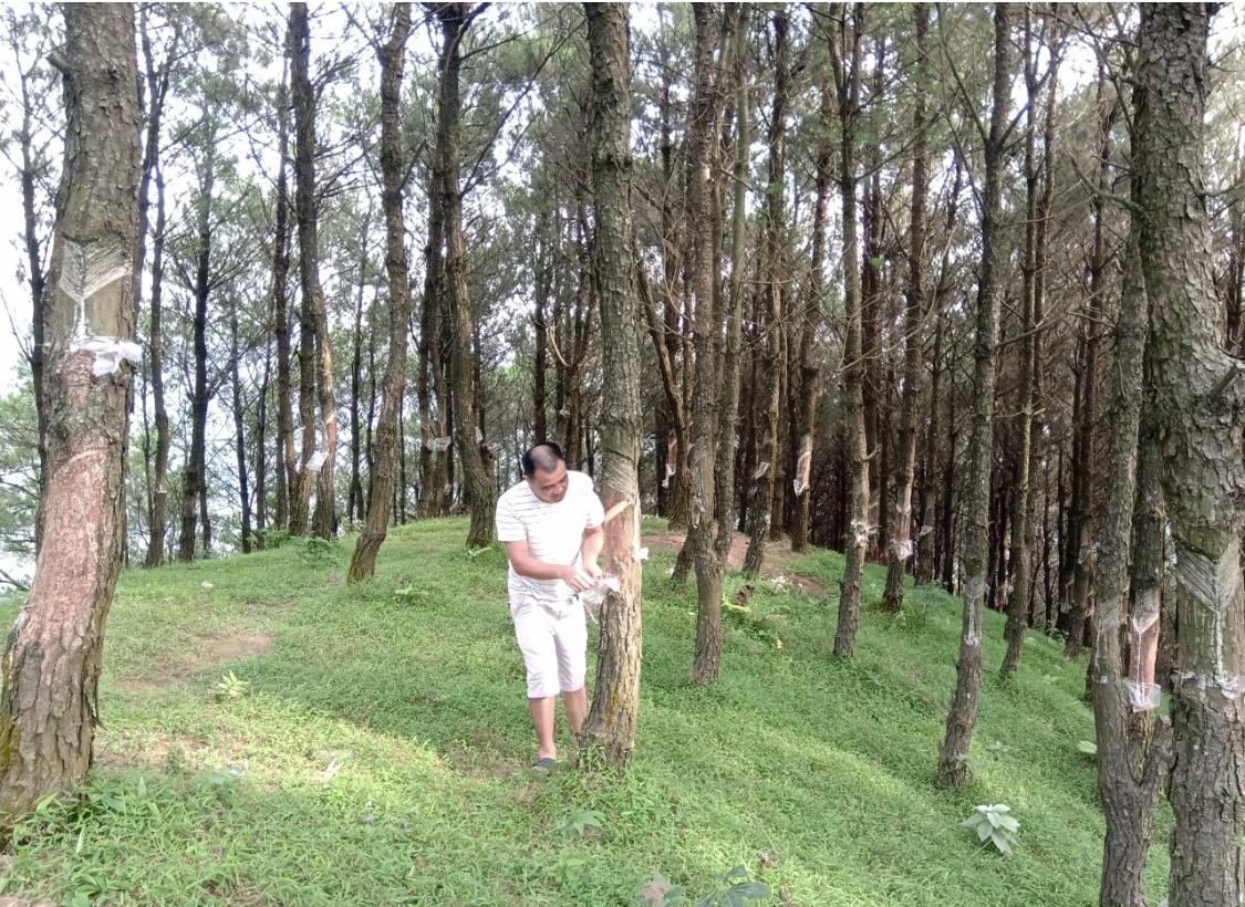 Người dân ở xã Mẫu Sơn, huyện Lộc Bình phát triển trồng rừng mang lại giá trị kinh tế cao.