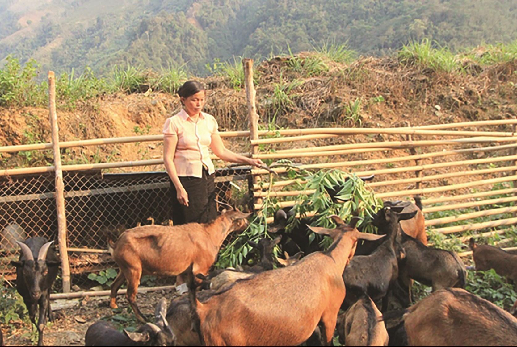 Từ nguồn vốn vay, chị Lò Thị Danh ở bản Phiêng Luông 1, xã Nậm Hàng, huyện Nậm Nhùn đầu tư phát triển mô hình chăn nuôi dê đem lại thu nhập cao