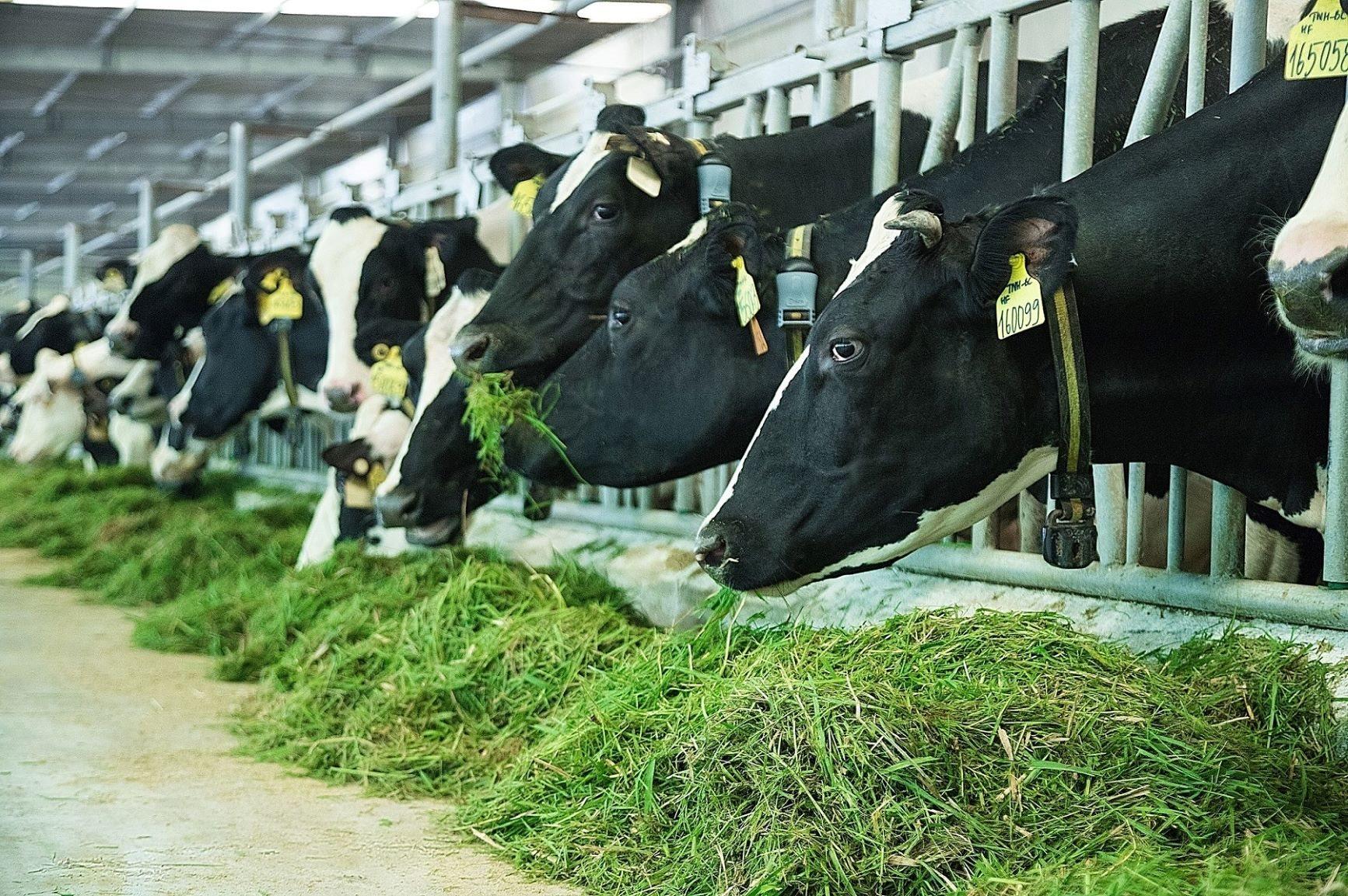 Vùng nguyên liệu sữa tươi lớn với 12 trang trại đạt chuẩn quốc tế góp phần giúp sản phẩm sữa tươi của Vinamilk dẫn đầu phân khúc trong nhiều năm liền