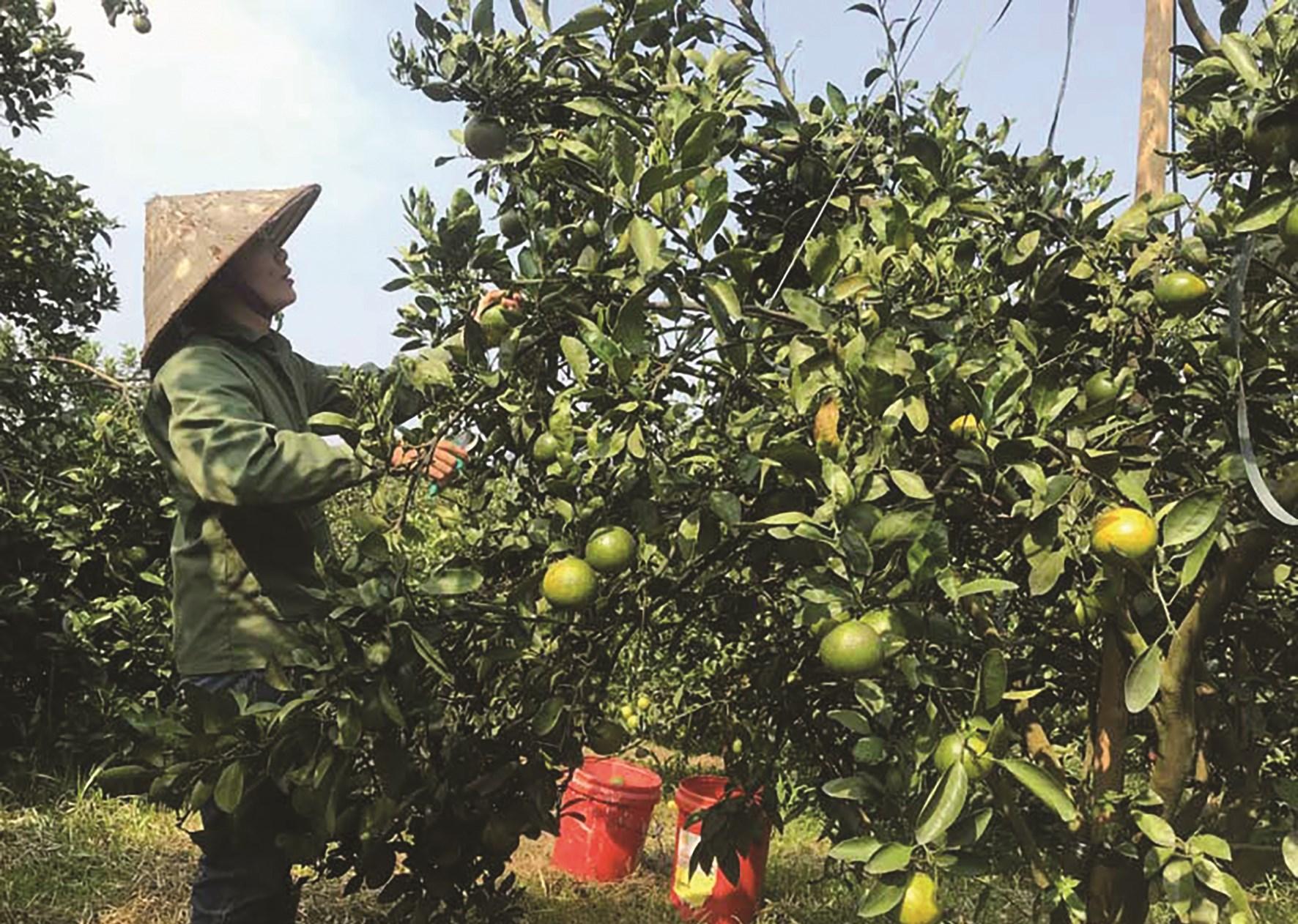 Mô hình trồng cam Cao Phong theo hướng VietGAP của tại Hòa Bình.