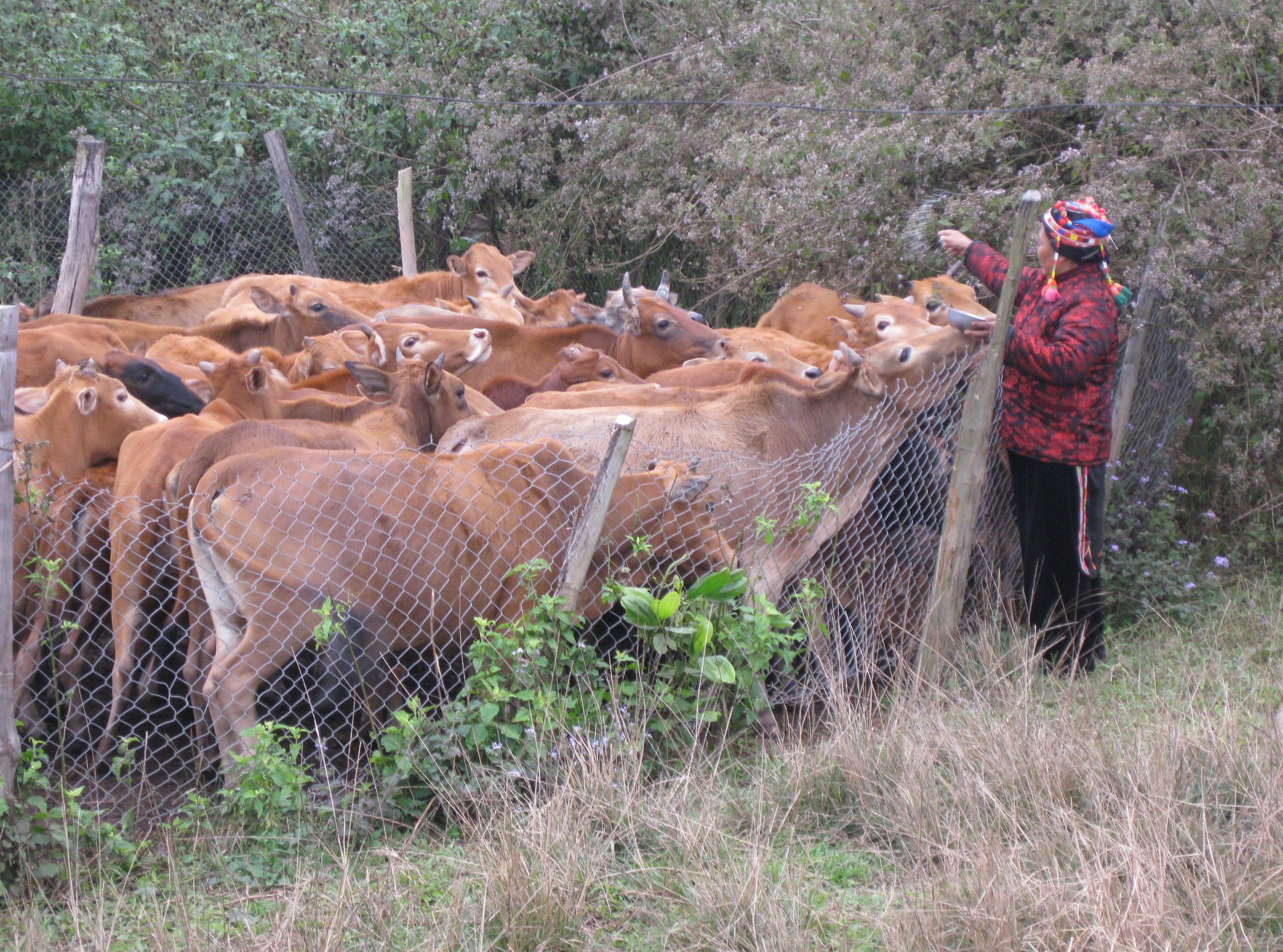 Chính sách hỗ trợ cấp trâu, bò giống đã giúp nhiều hộ dân xã Nà Hỳ (Nậm Pồ) thay đổi cuộc sống và thoát nghèo.