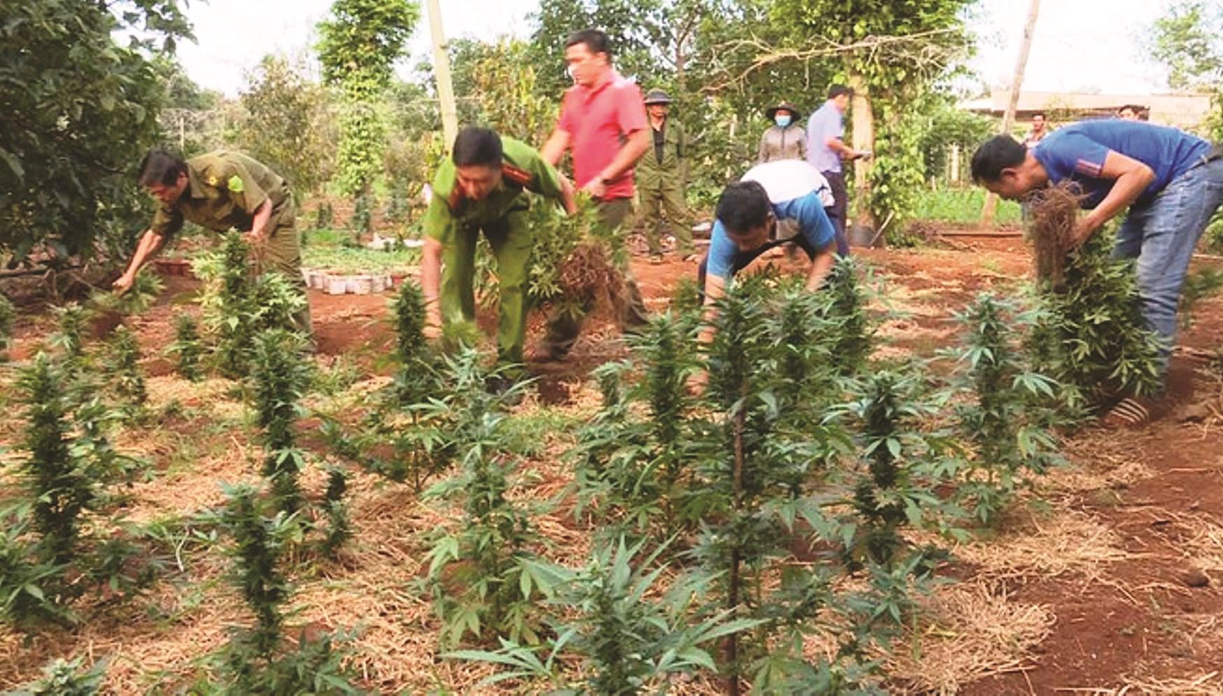 Lực lượng chức năng nhổ bỏ cây cần sa trồng trong rẫy ở huyện Krông Năng.