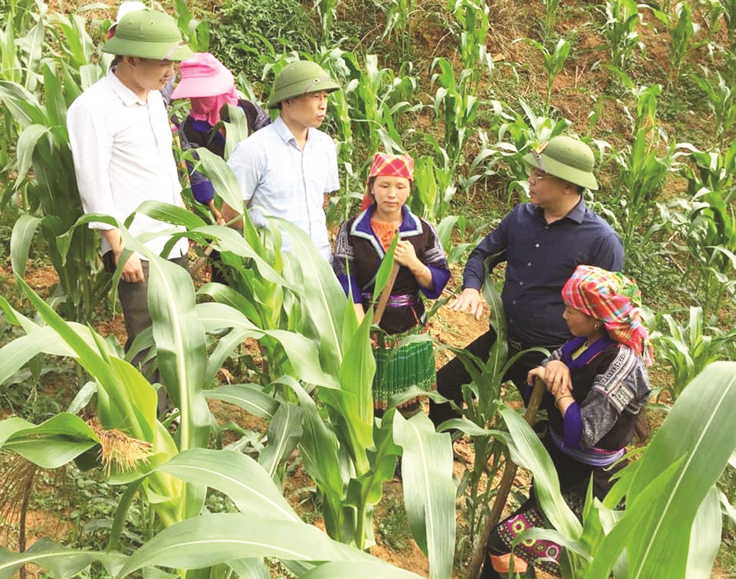 Bí thư Huyện ủy Mù Cang Chải (Yên Bái) Nông Việt Yên thăm mô hình trồng ngô lai của bà con huyện Mù Cang Chải.