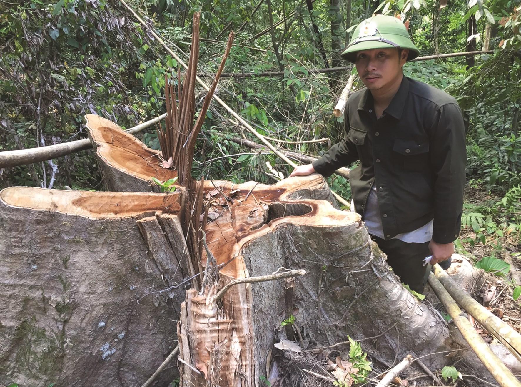 Lực lượng Kiểm Lâm tuần tra phát hiện nhiều gốc cây lớn đường kính từ 40cm trở lên bị chặt phá.