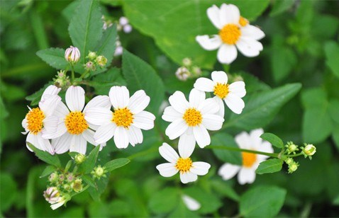 Bài thuốc từ cây rau bô binh