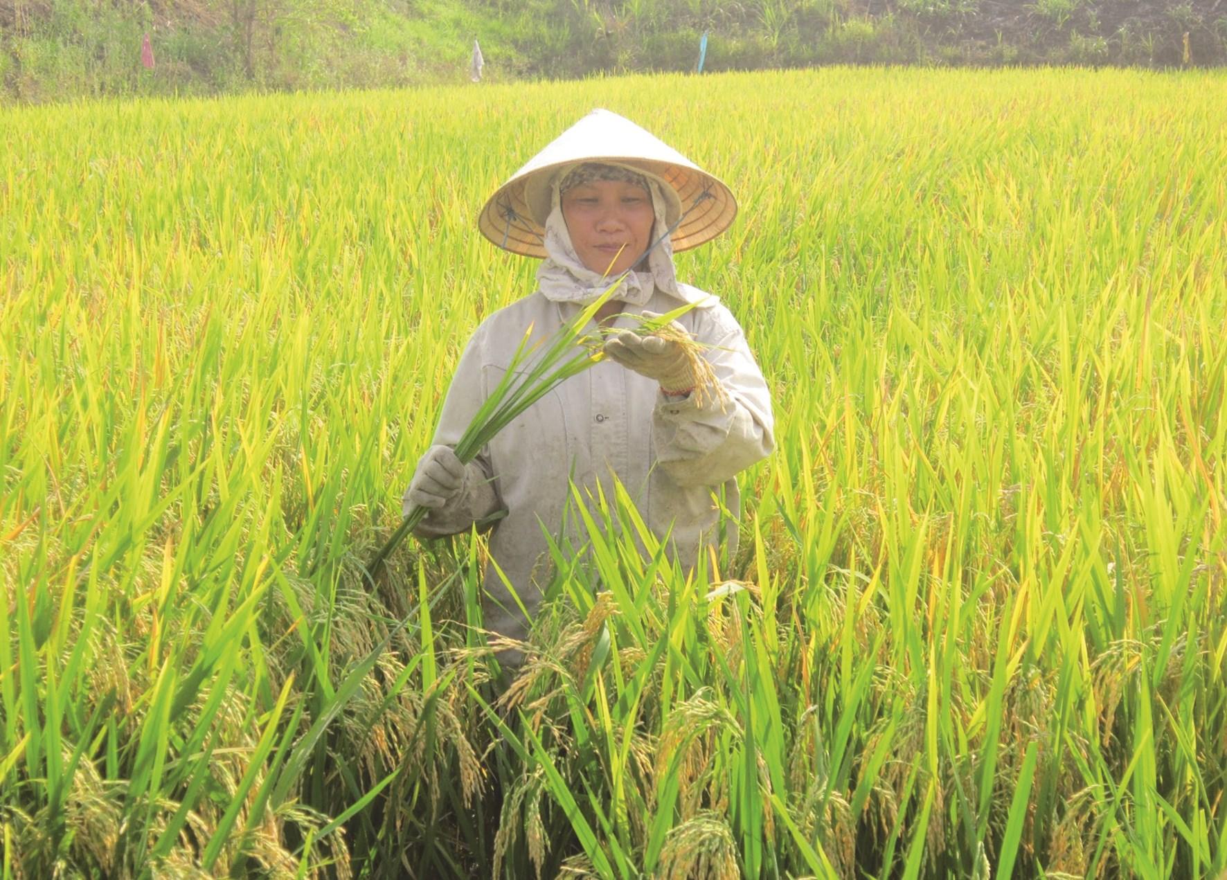 Dưới sự hướng dẫn của cán bộ khuyến nông, đồng bào DTTS ở Sông Hinh trồng lúa nước đạt năng suất cao.