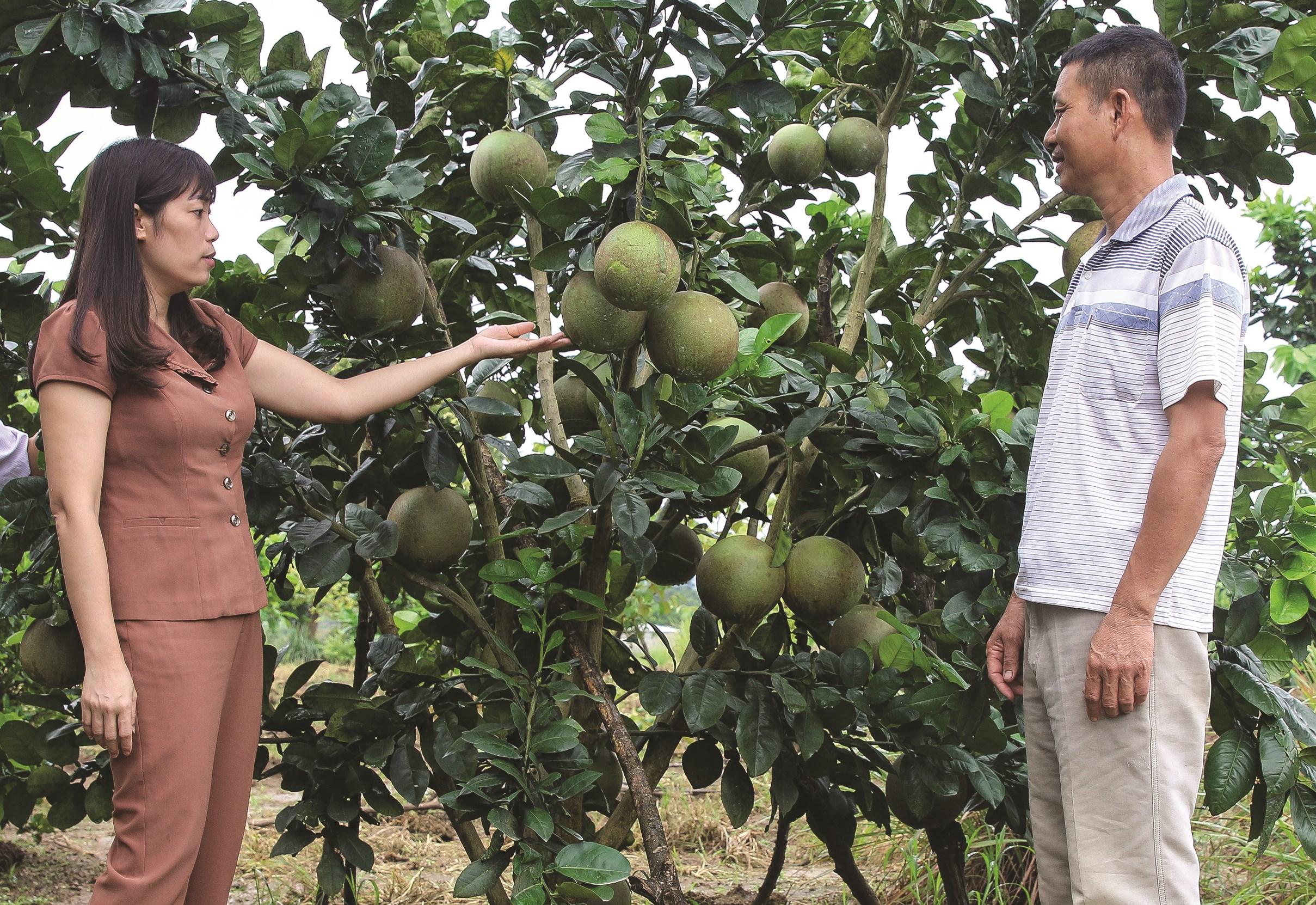 Nông dân huyện Điện Biên chuyển đổi thành công từ đất trồng lúa 1 vụ sang mô hình trồng bưởi da xanh cho hiệu quả kinh tế cao hơn