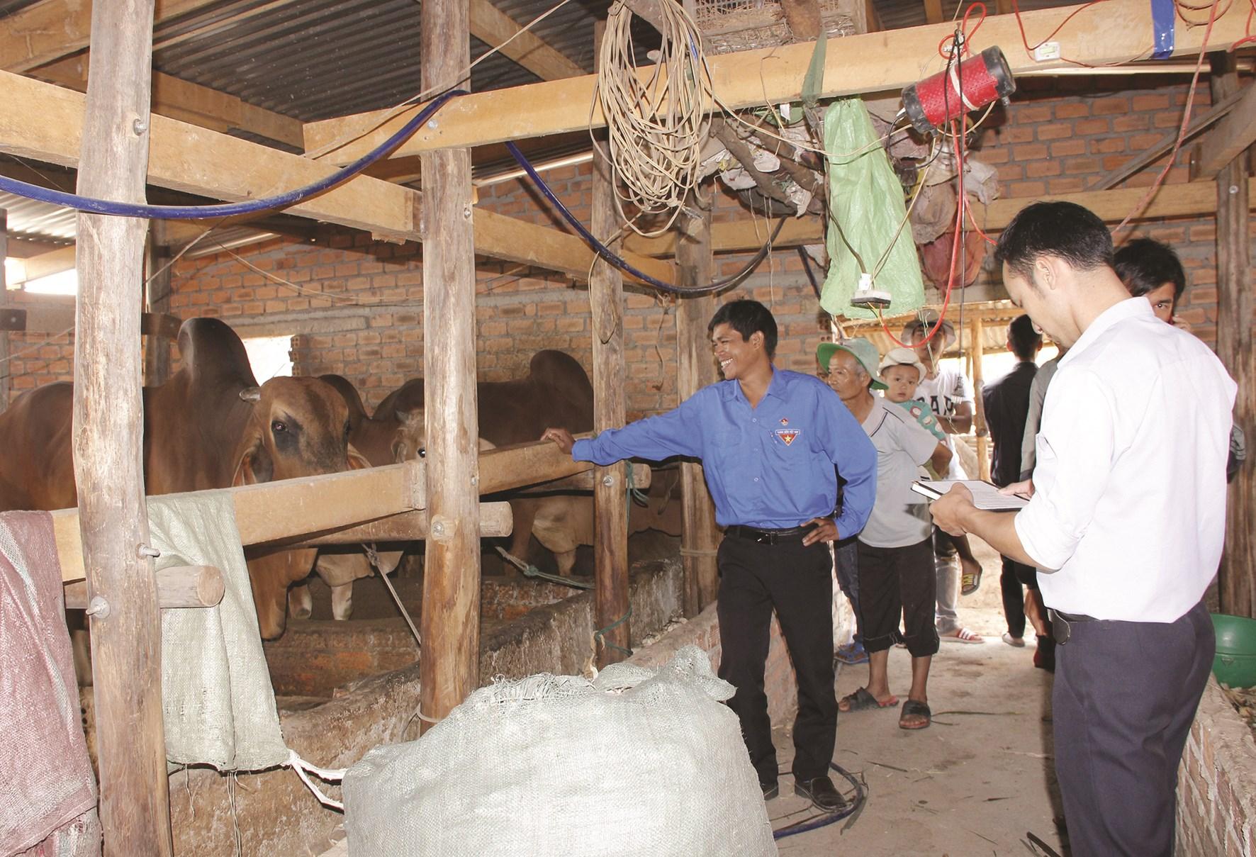Mô hình nuôi bò nhốt chuồng của gia đình anh Trần Văn Khương.