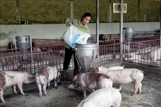 Chị Lường Thị Hoa chăm sóc đàn lợn. Ảnh: Quang Quyết - TTXVN
