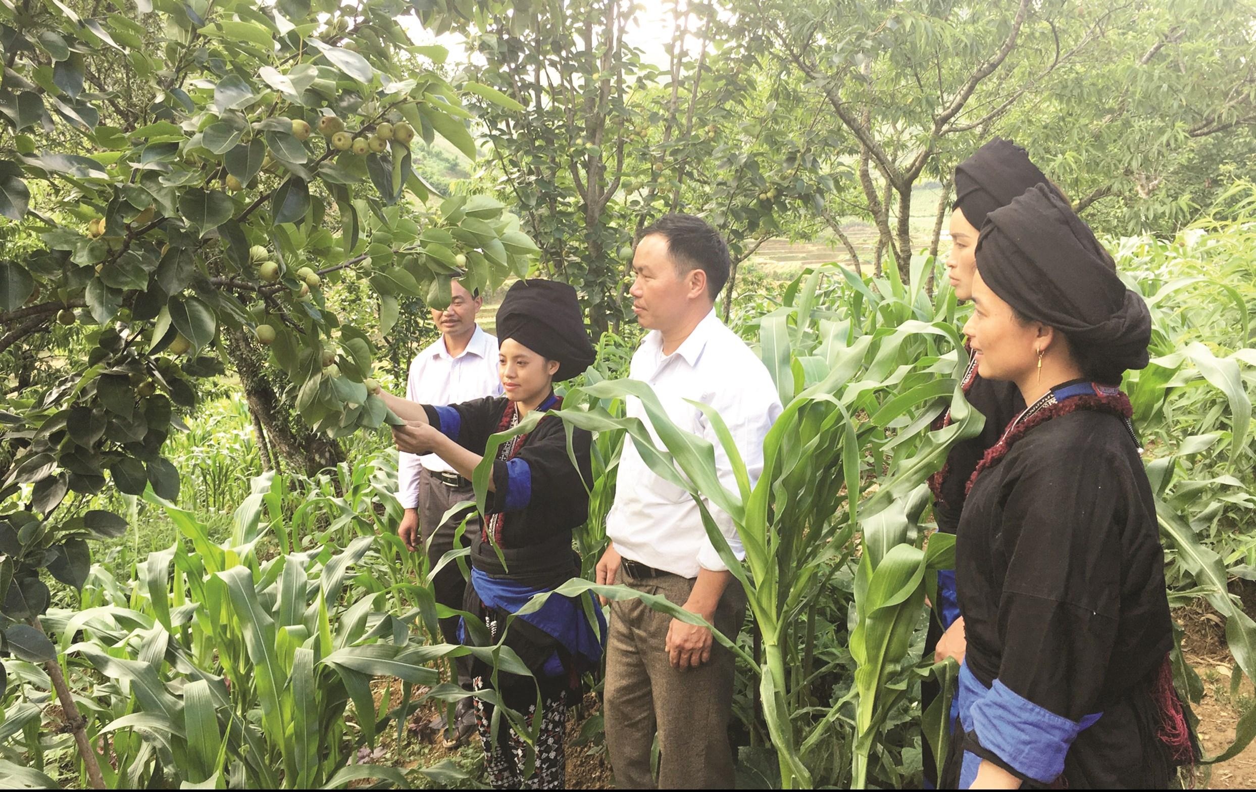 Người dân xã Sà Dề Phìn phát triển mô hình trồng lê mang lại giá trị kinh tế cao.
