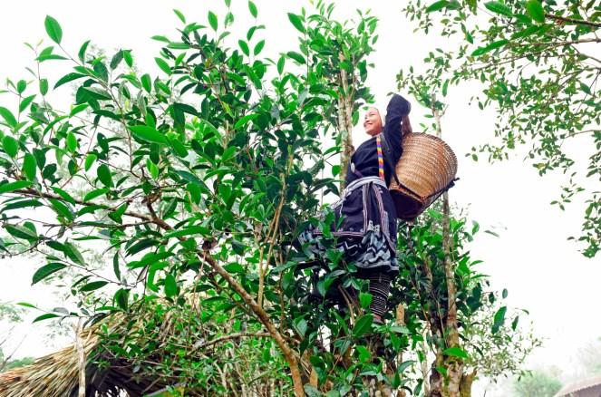Người dân ở Hồng Thái, Na Hang (Tuyên Quang) thu hái chè