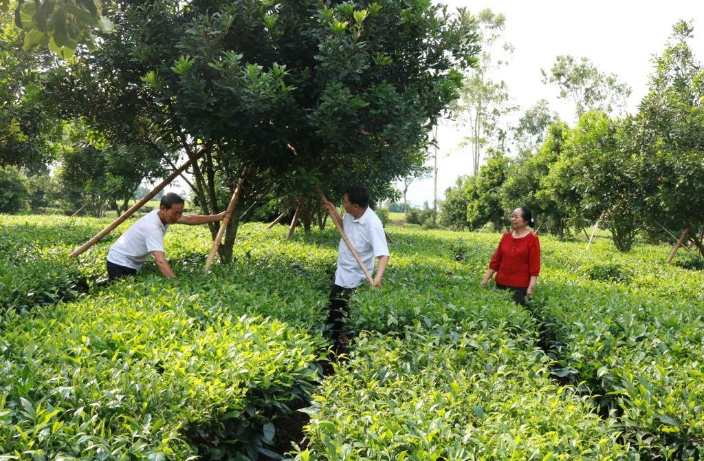 Mô hình trồng cây mắc ca xen cây chè của đảng viên Nguyễn Xuân Cát ở thị trấn Tân Uyên được nhiều hộ gia đình học hỏi