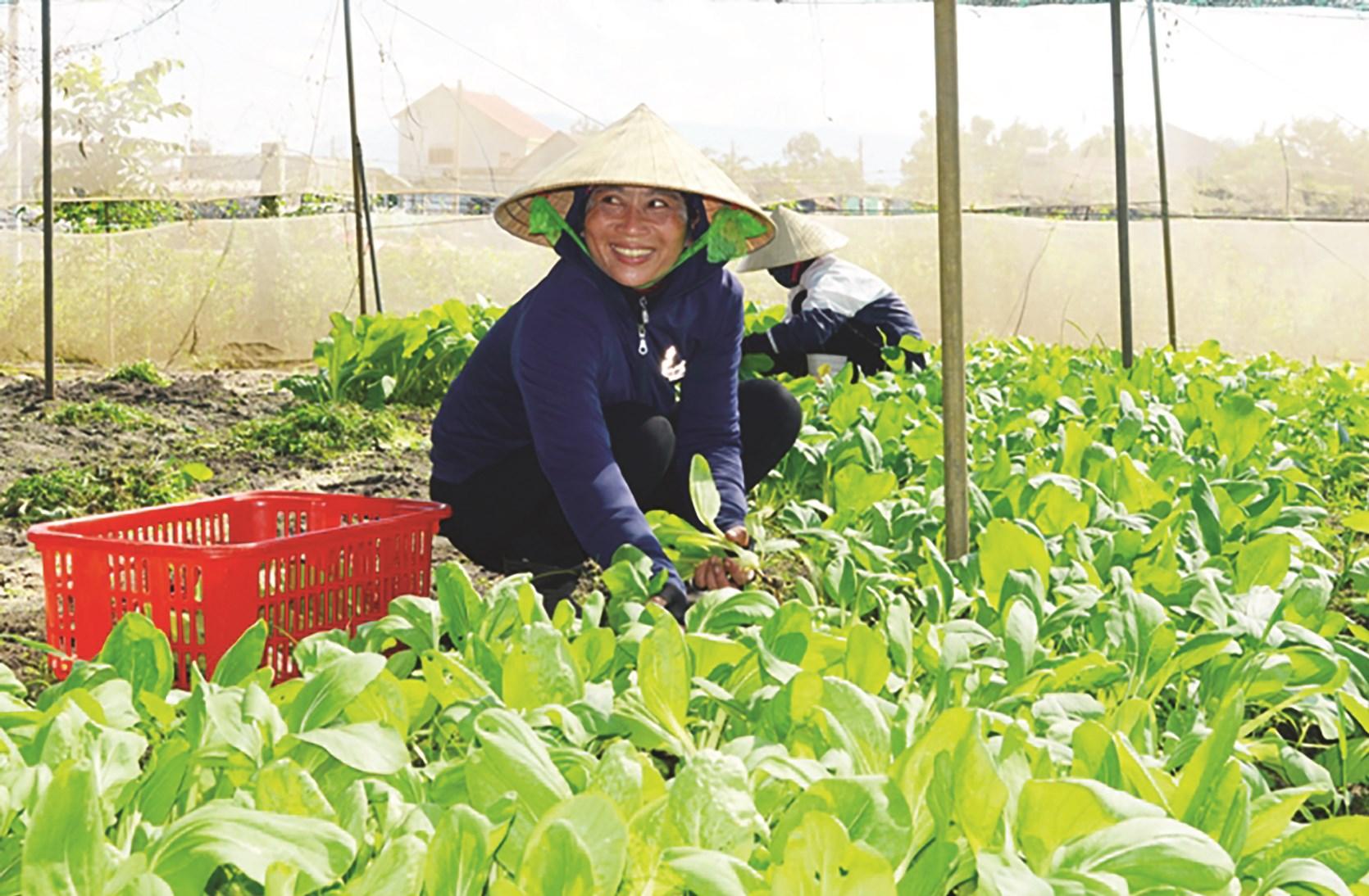 Mô hình trồng rau tham gia liên kết ở huyện Bố Trạch đang cho thu nhập cao