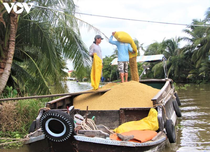 Cảnh thương lái tại tỉnh Sóc Trăng thu mua lúa hàng hóa