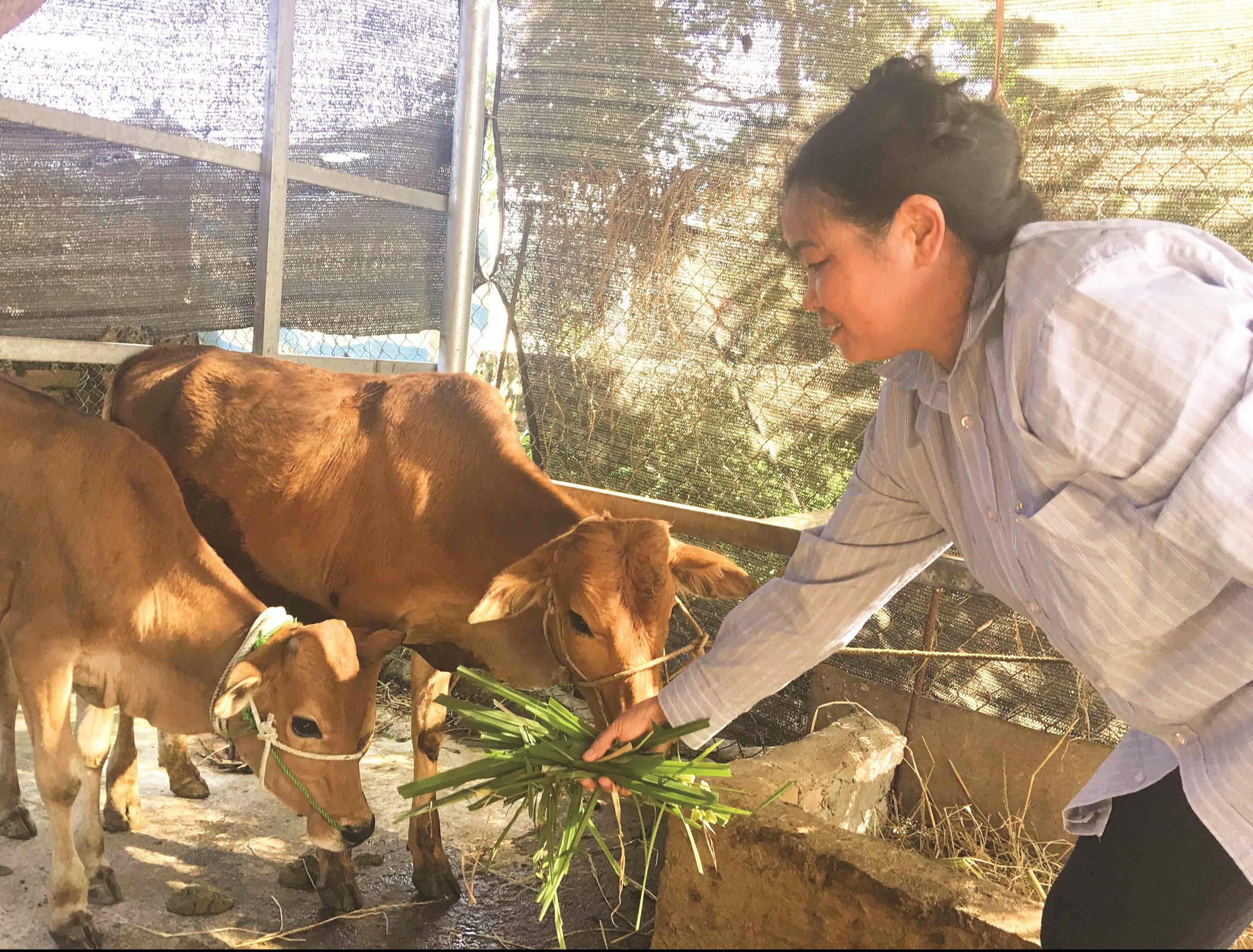 Mô hình phát triển chăn nuôi bò theo nhóm phát huy hiệu quả thiết thực tại nhiều xã vùng cao huyện Mường Chà (Điện Biên).