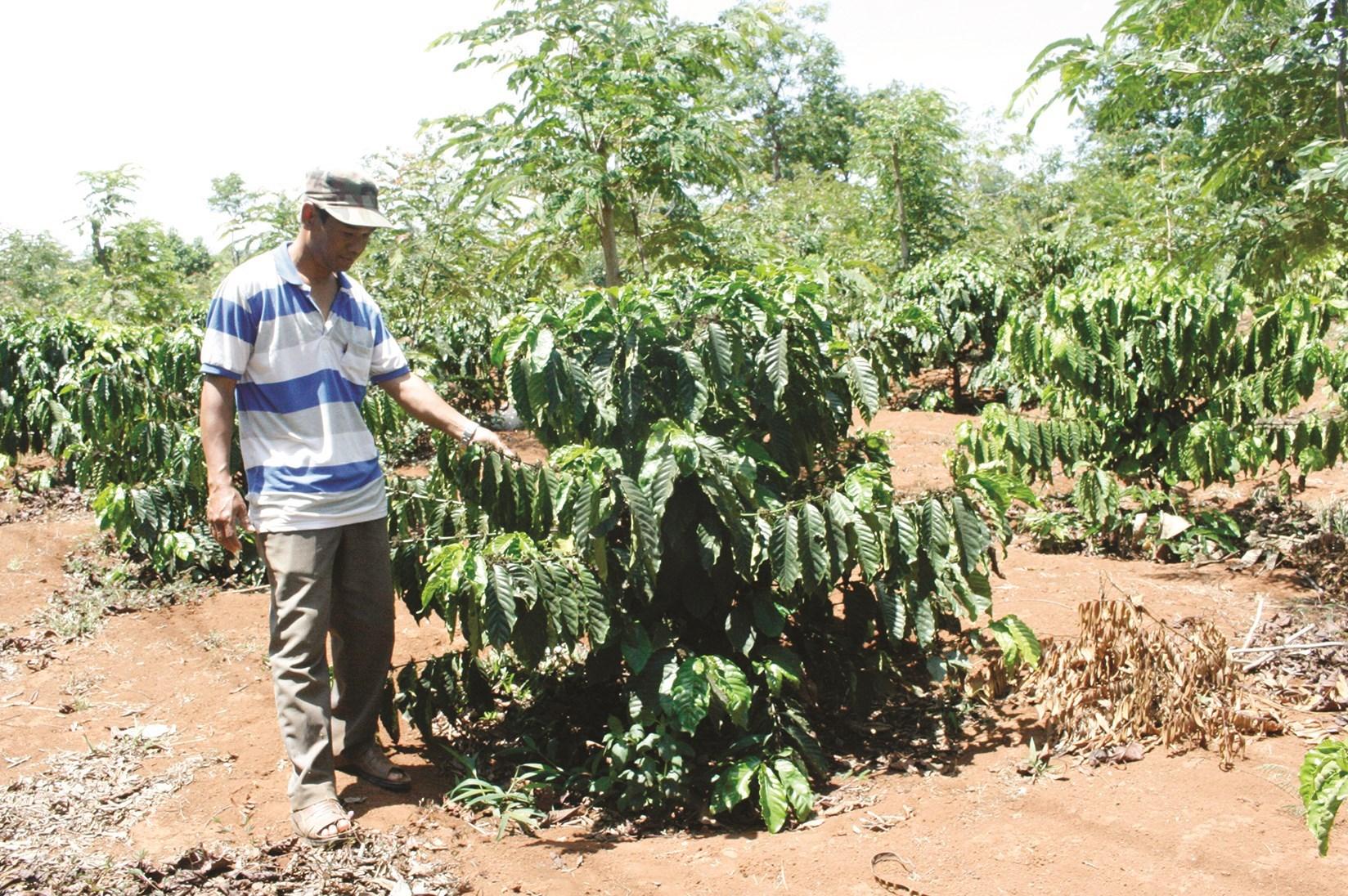 Nhiều diện tích cà phê ở Tây Nguyên đạt năng suất thấp do không áp dụng quy trình tái canh cà phê chuẩn
