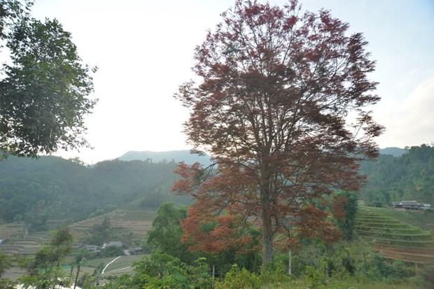 Cây Mạy Coong, một cây báo hiệu mùa vụ của người Tày vùng cao Bắc Hà, tỉnh Lào Cai. Ảnh: Huy Phan