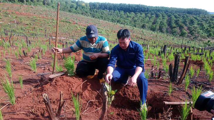 Anh Trần Văn Hải, công nhân Công ty 74 (bên phải) trao đổi kỹ thuật trồng điều với anh Rơ Lan Binh. Ảnh: Thái Kim Nga