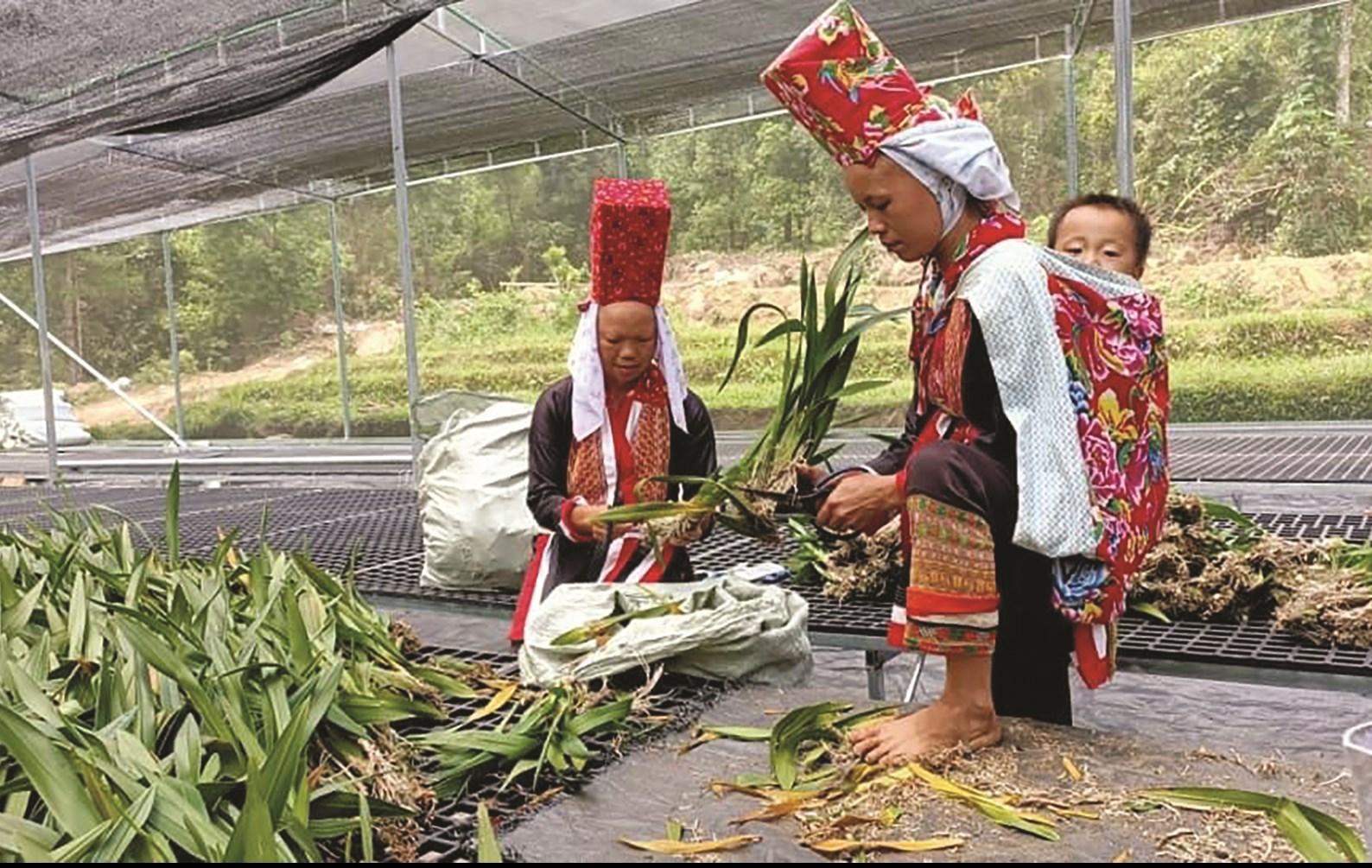 Người dân xã Đồng Văn trồng hoa tại trang trại hoa Cao Sơn, Đồng Văn để phục vụ khách du lịch