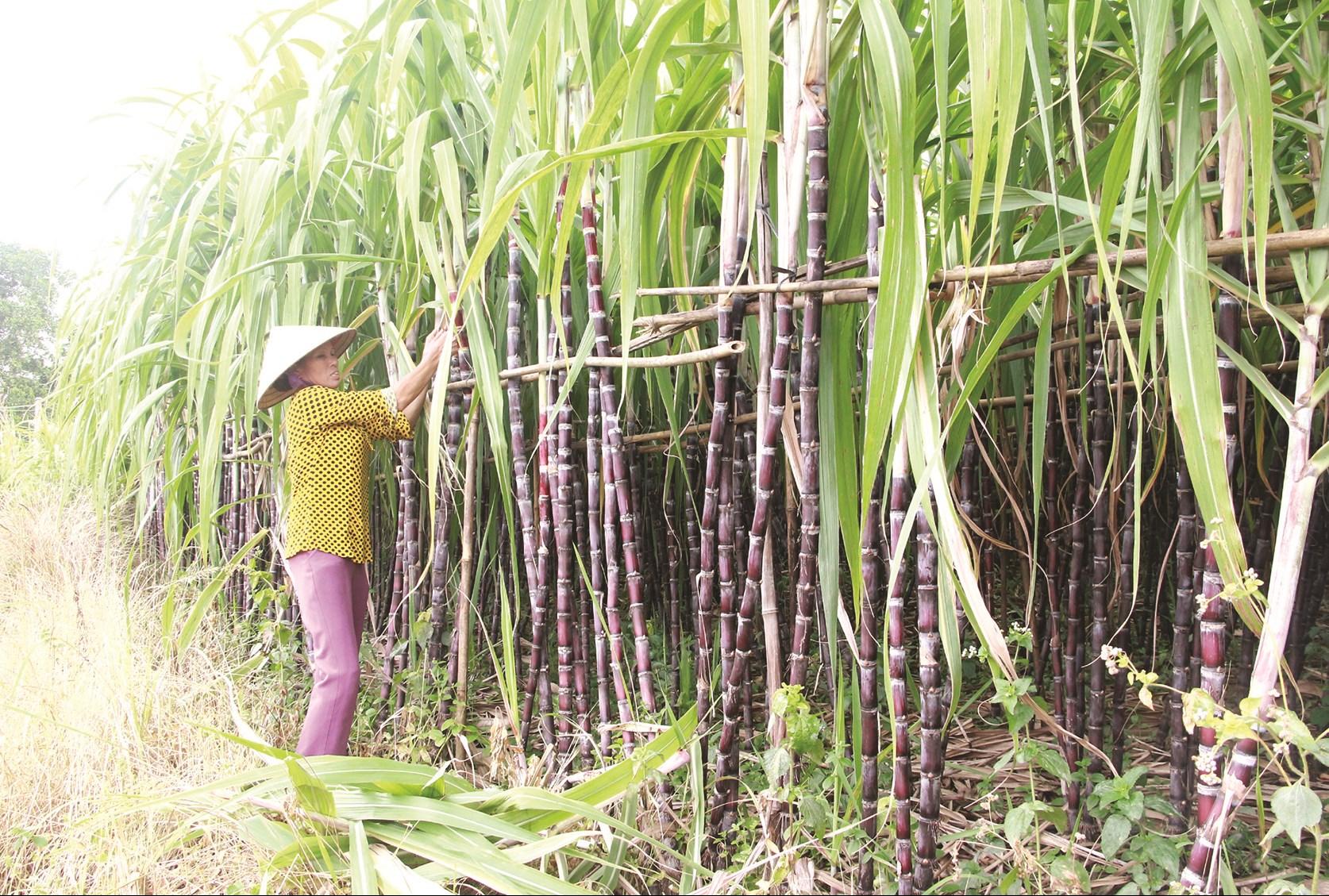Cây mía tím được huyện Khánh Sơn chọn làm sản phẩm OCOP năm 2020