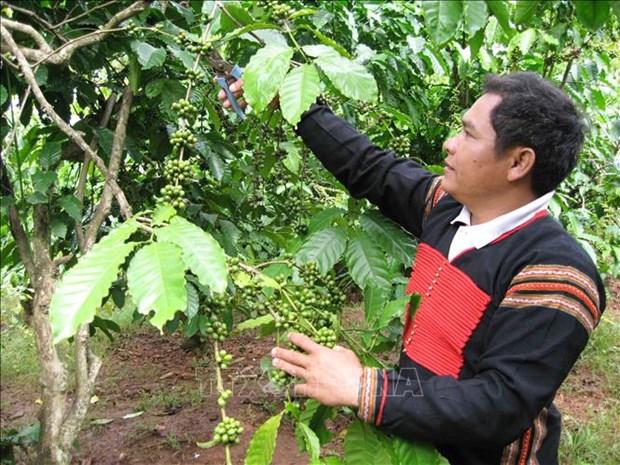 Nông dân huyện Krông Bông chăm sóc cây cà phê. Ảnh: TTXVN