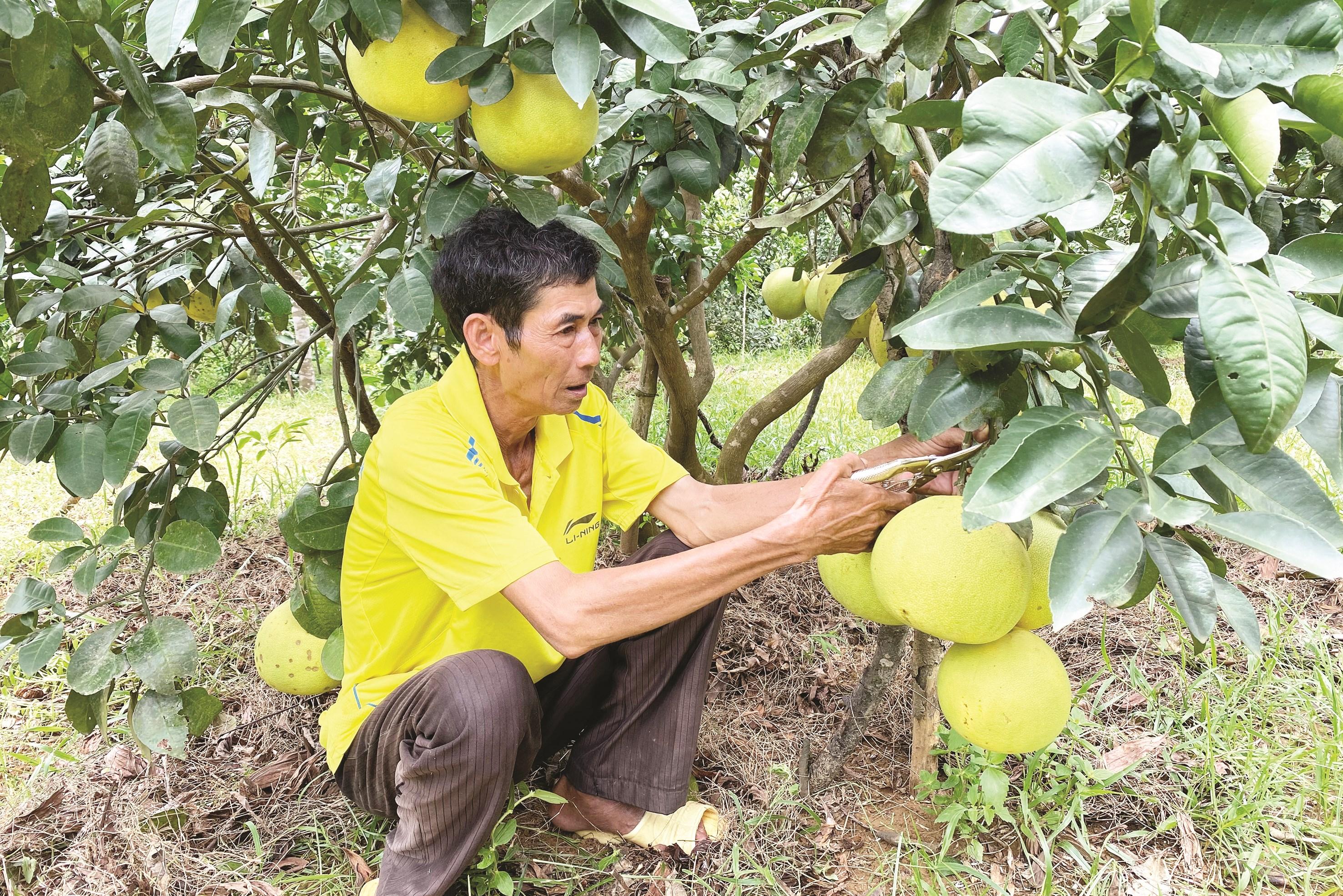 Ông Võ Tất - Hộ trồng bưởi ở xã Phúc Trạch cho biết, mỗi quả bưởi bán lẻ có giá 35.000 đồng