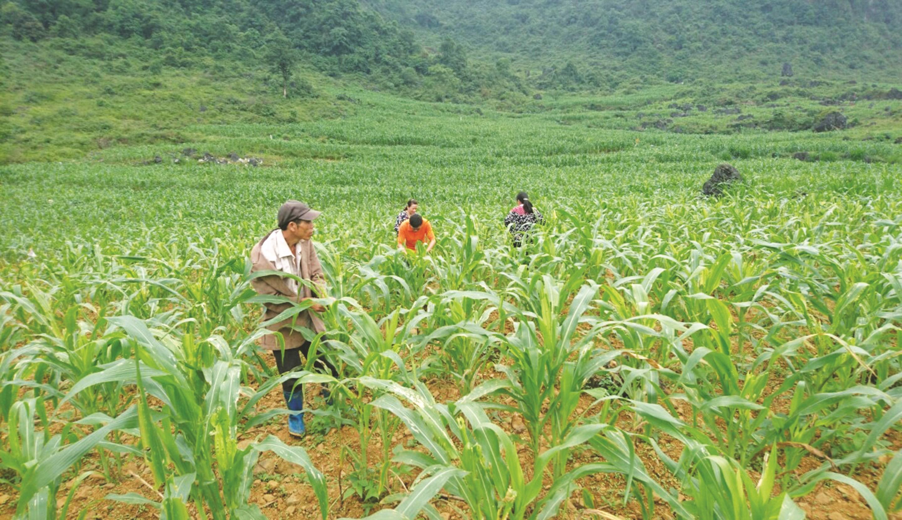 Nông dân xã Hoàng Tung, huyện Hòa An chăm sóc cây ngô.