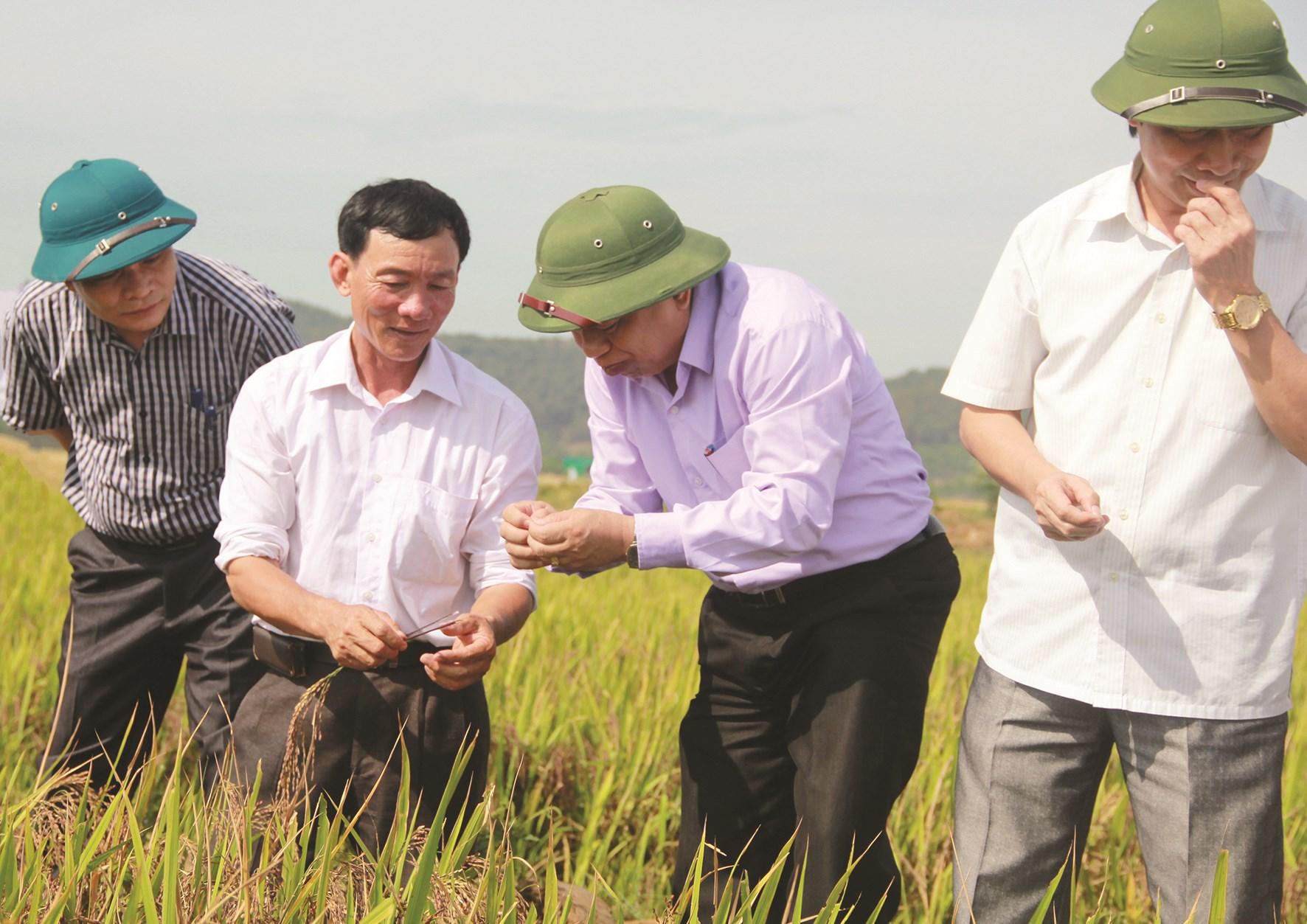 Lãnh đạo tỉnh Nghệ An kiểm tra cánh đồng lúa thảo dược (lúa tím) của Công ty TNHH Khoa học Công nghệ Vĩnh Hòa