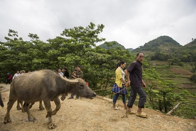 Mỗi phiên chợ có hàng trăm con trâu đến từ các vùng miền dân tộc khác nhau như Bắc Hà, Si Ma Cai, Mường Khương, Yên Bái,… (Ảnh: Minh Sơn/Vietnam+).
