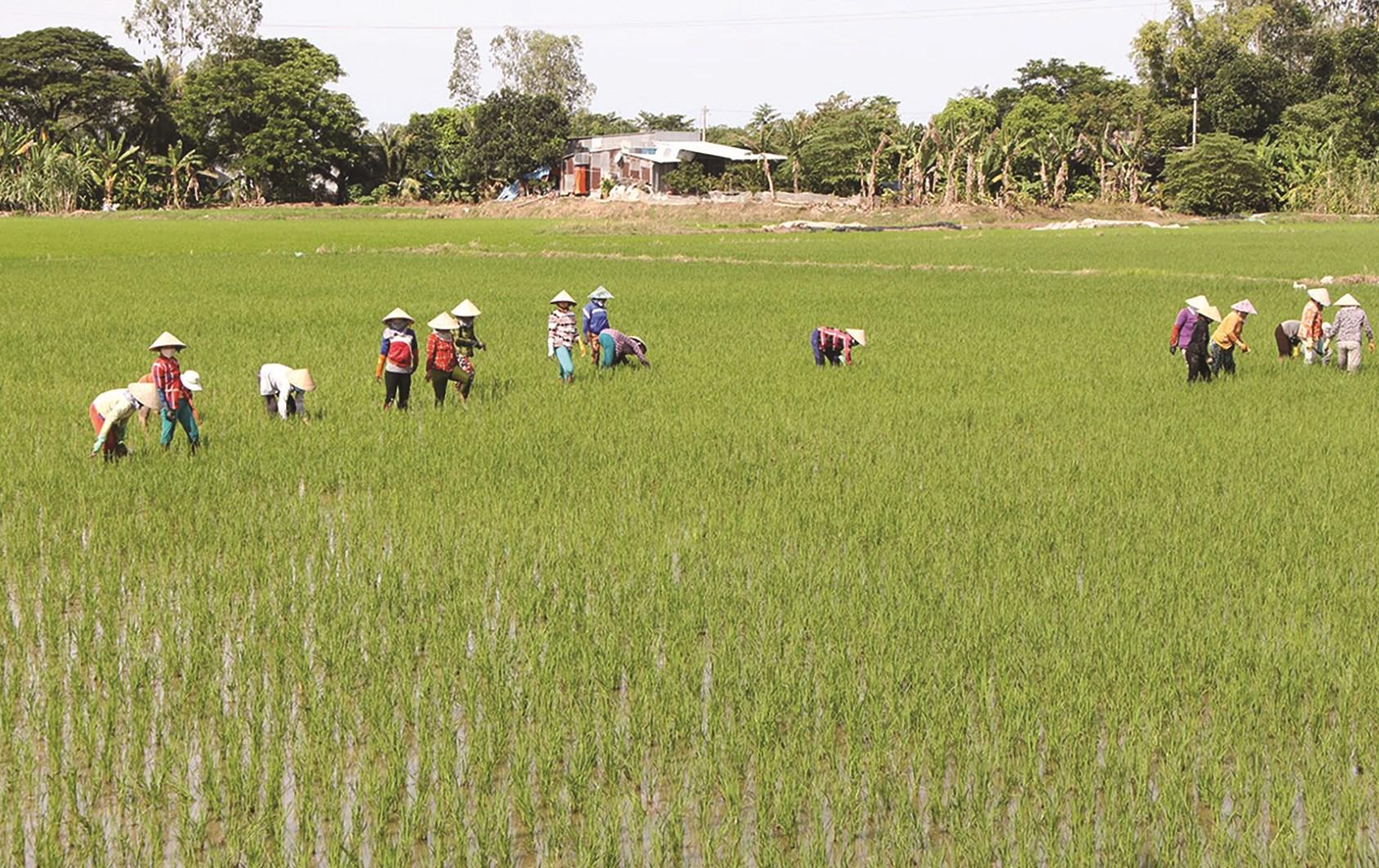 Hiện, diện tích gieo cấy lúa thơm tại Đồng bằng sông Cửu Long hằng năm đạt khoảng 1 triệu ha với sản lượng 5,5 triệu tấn