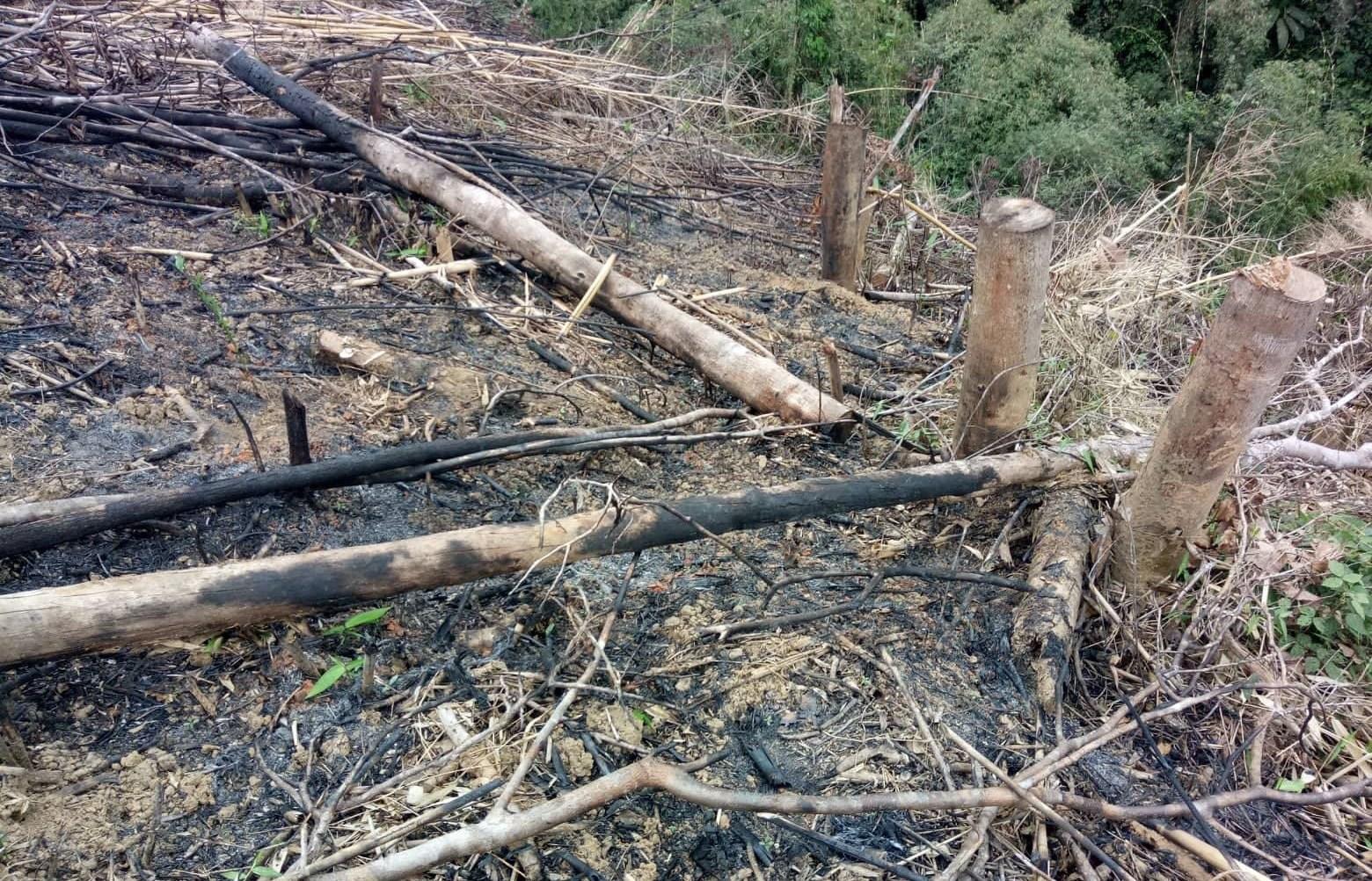Một khoảnh rừng tại xã Châu Phong, huyện Quỳ Châu (Nghệ An) bị phá để trồng keo năm 2019