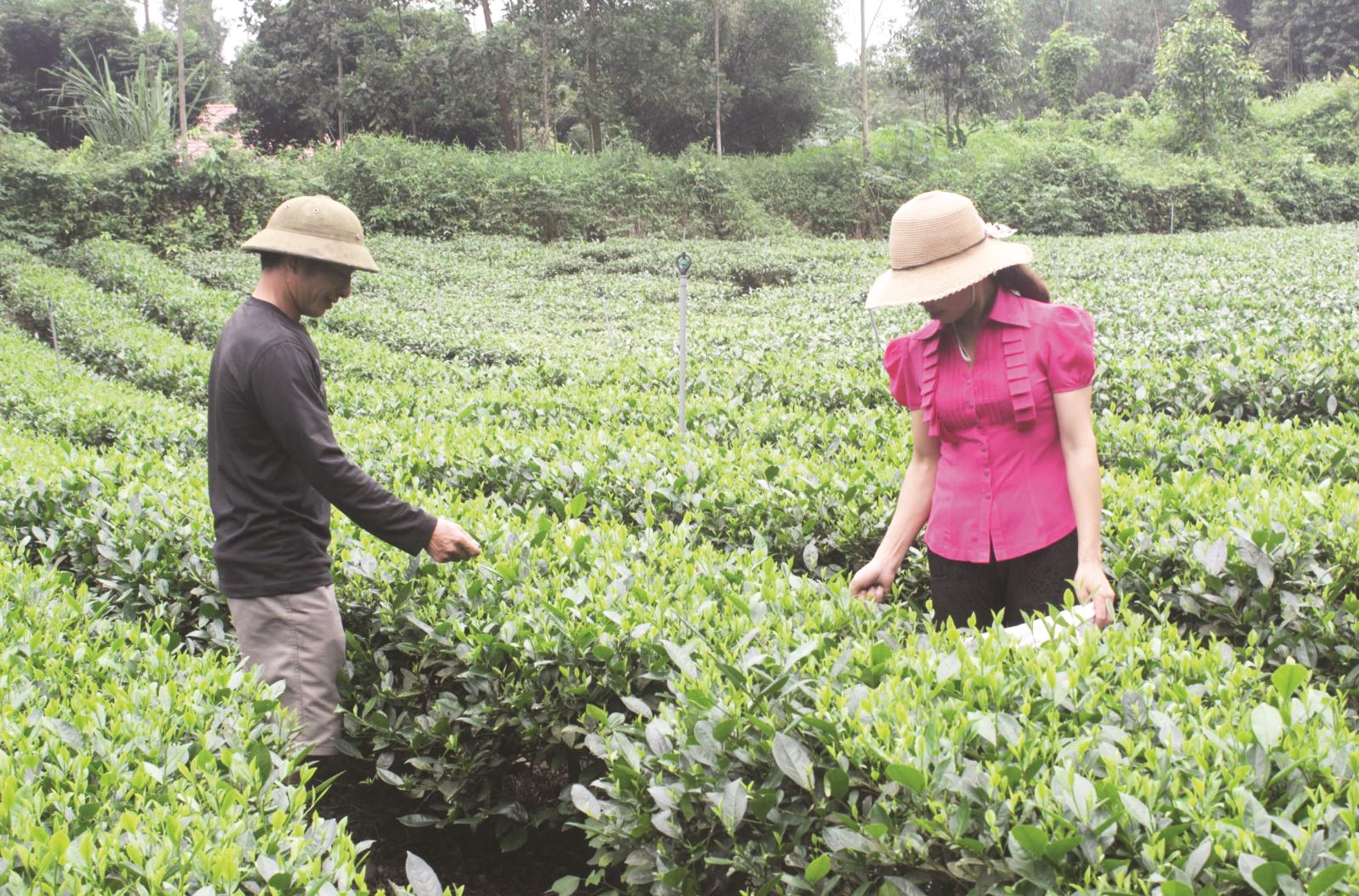 Dự án Hỗ trợ phát triển sản xuất (Chương trình 135), giúp người dân xã Liên Minh (Võ Nhai) phát triển sản xuất từ cây chè. Ảnh tư liệu