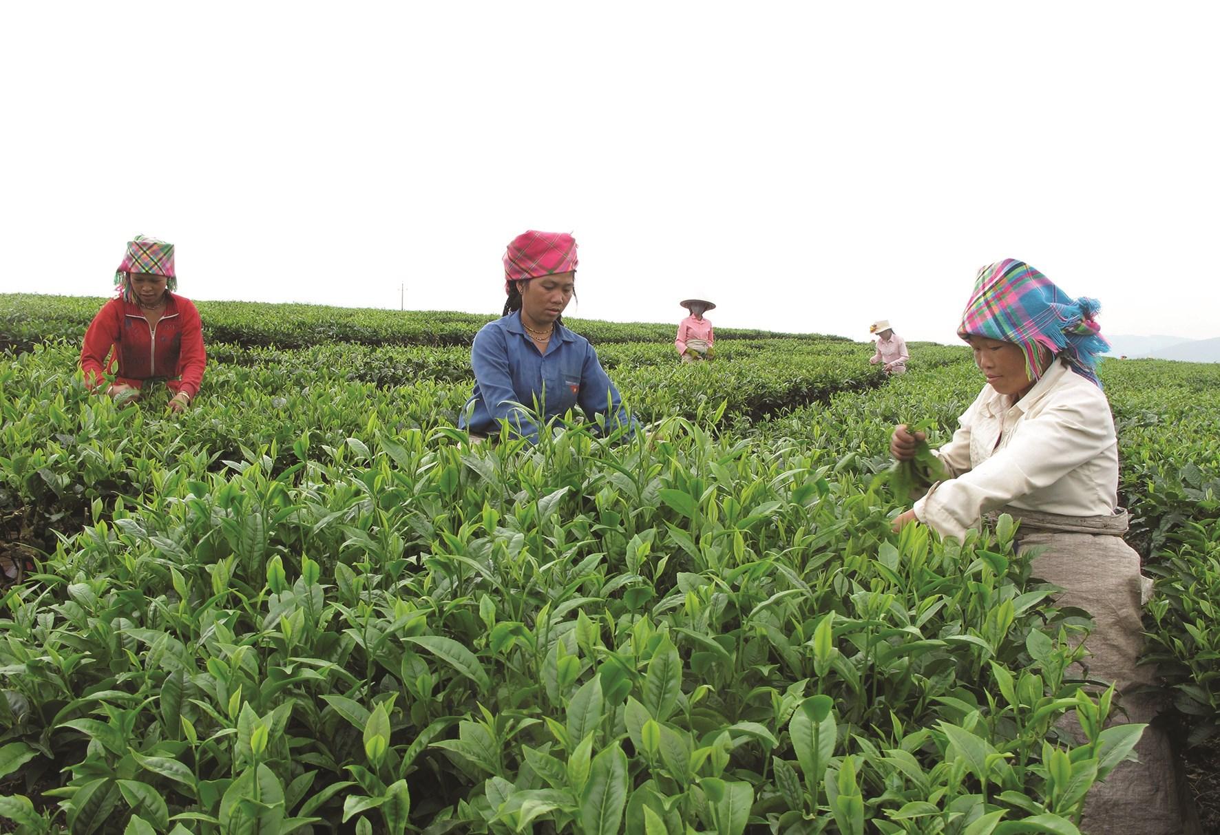 Mô hình trồng chè giúp đồng bào giảm nghèo. (Ảnh tư liệu)