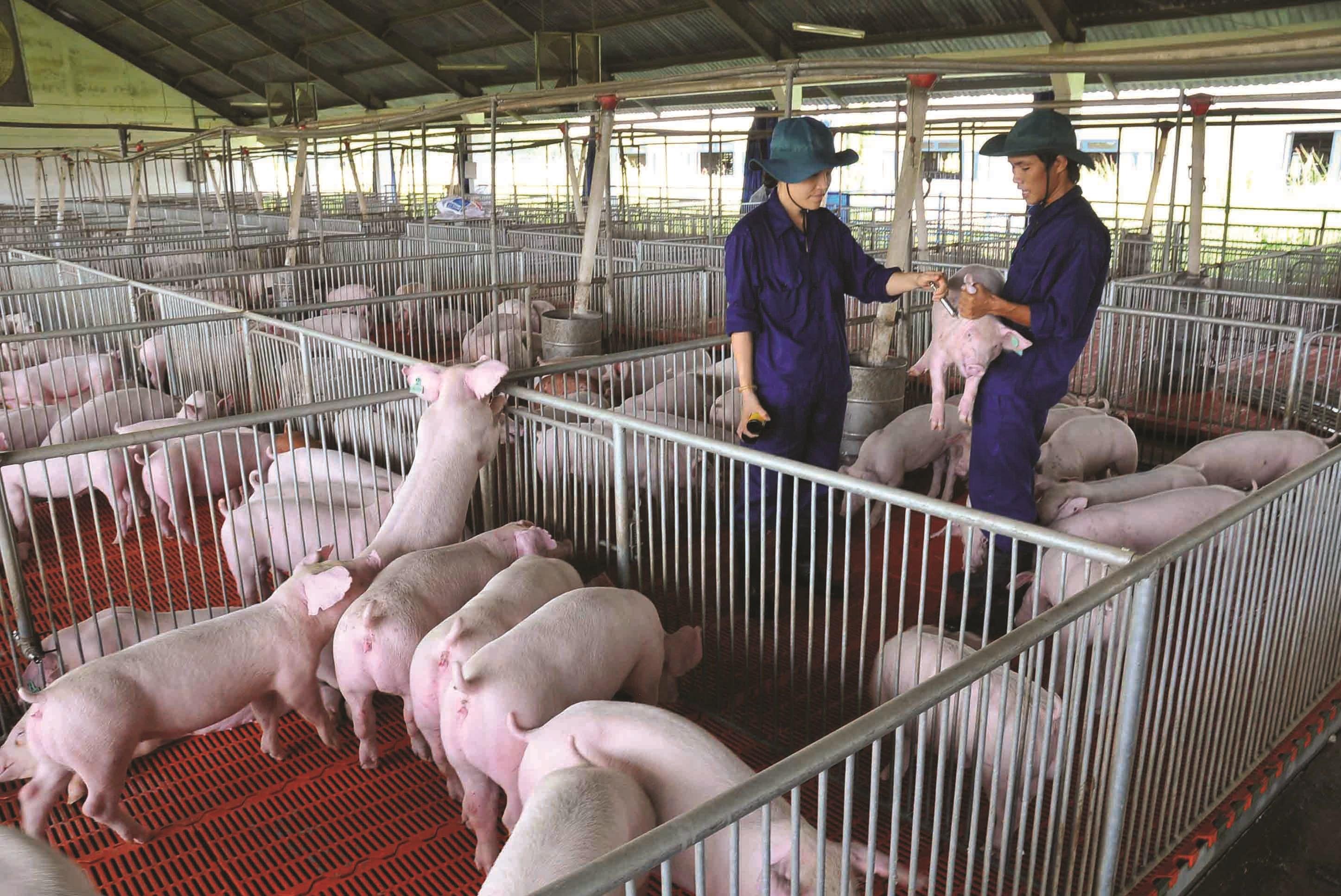 Đến năm 2030, phấn đấu tổng đàn lợn có mặt thường xuyên ở quy mô khoảng 29 - 30 triệu con