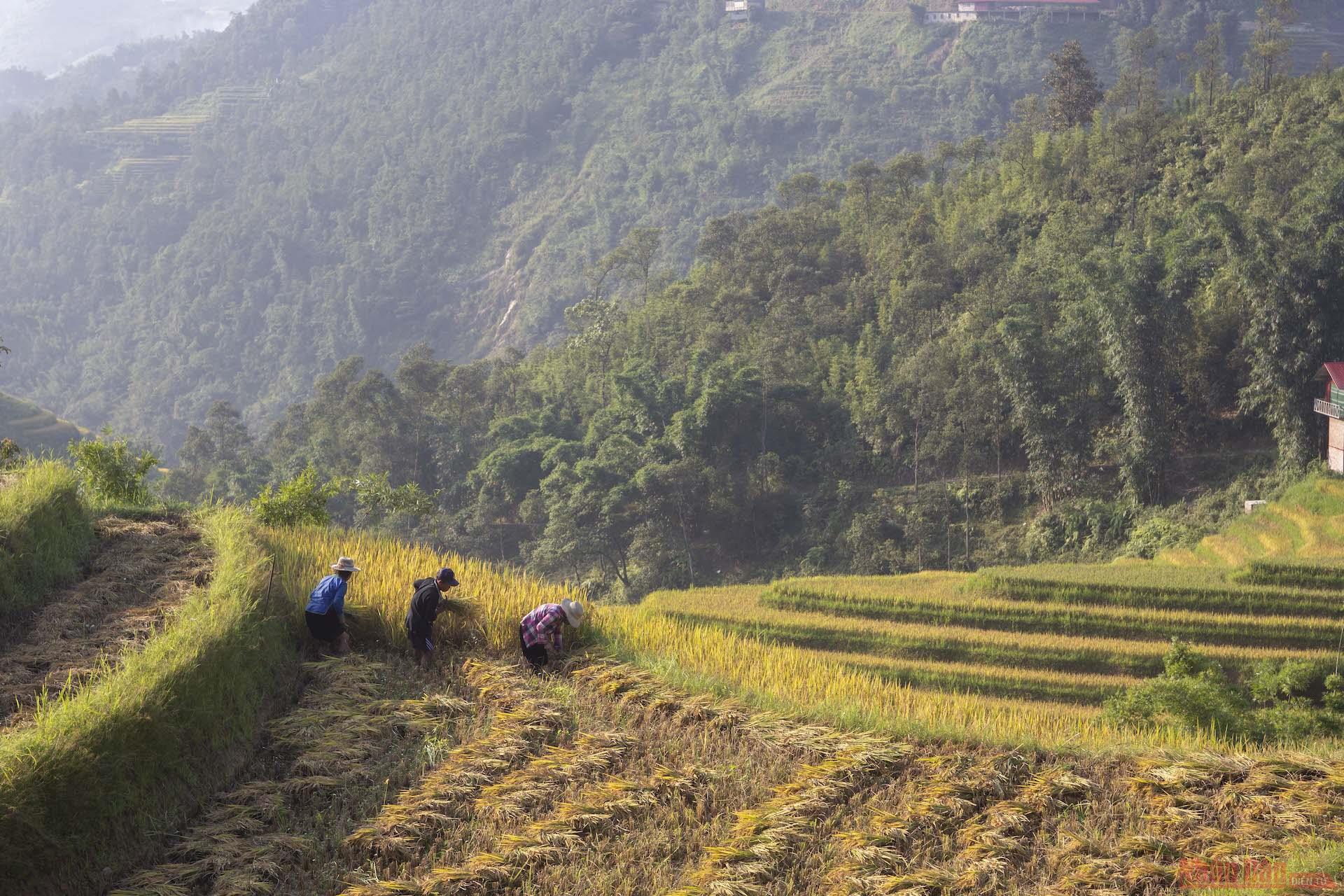 Người dân Ý Linh Hồ gặt lúa.