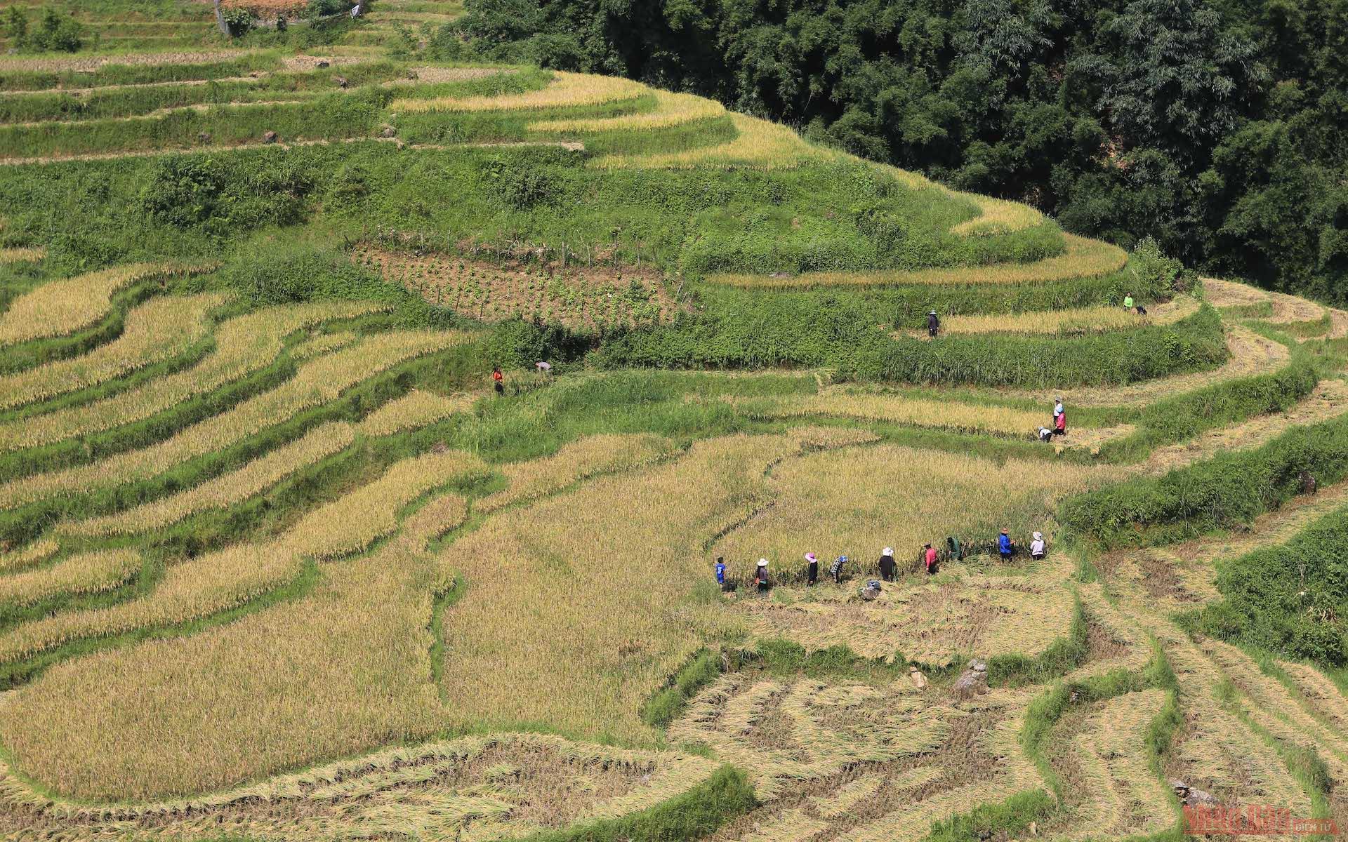 Người dân Lao chải đang gặt lúa trên đường từ Ý Linh Hồ về Lao Chải.