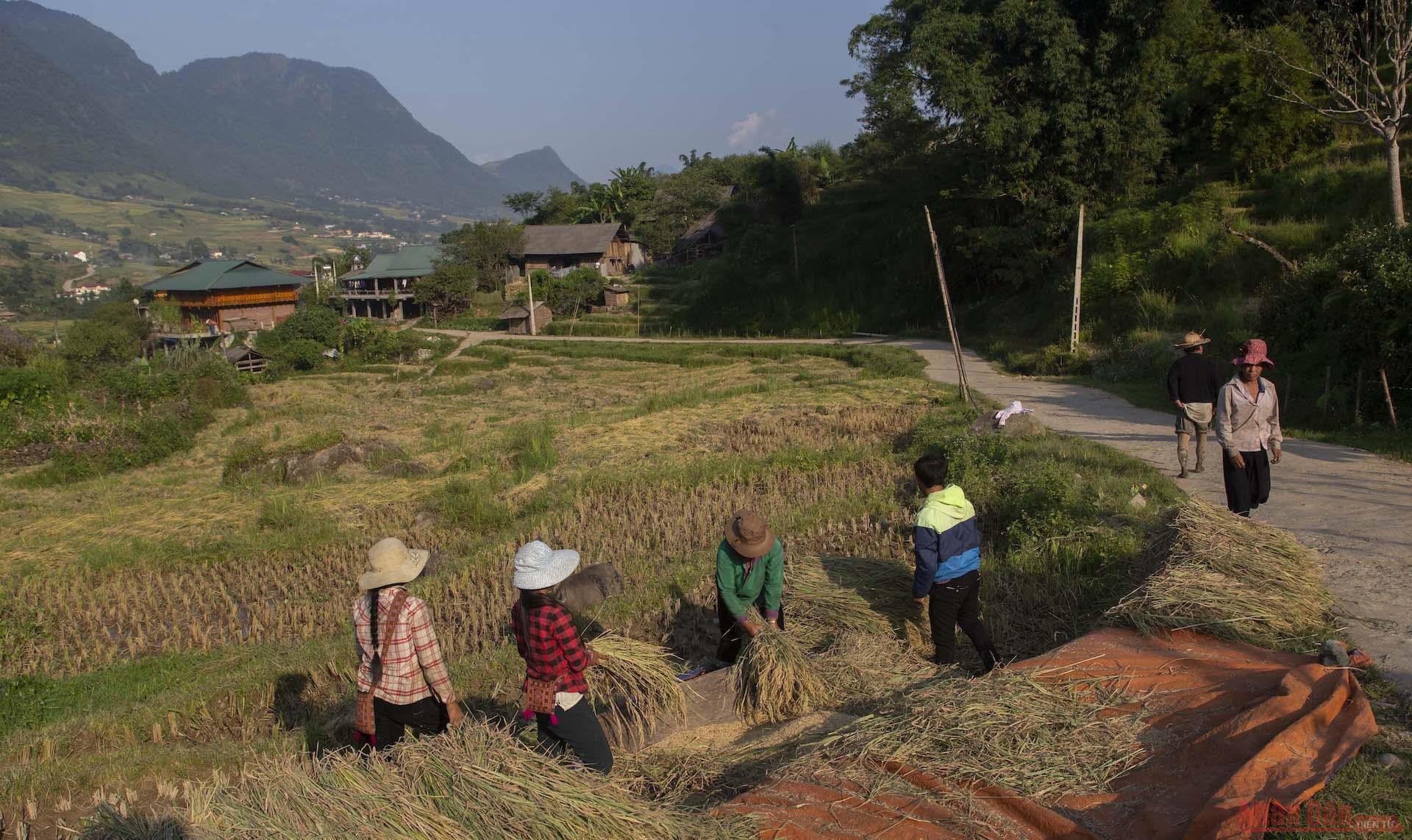 Người dân gặt lúa và đập lúa ngay tại ruộng.