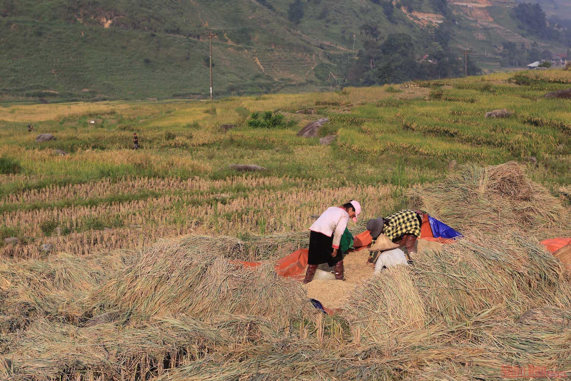 Sau khi đập cho hạt lúa tách khỏi thân, người dân cho lúa vào bao tải và chở về bằng xe máy