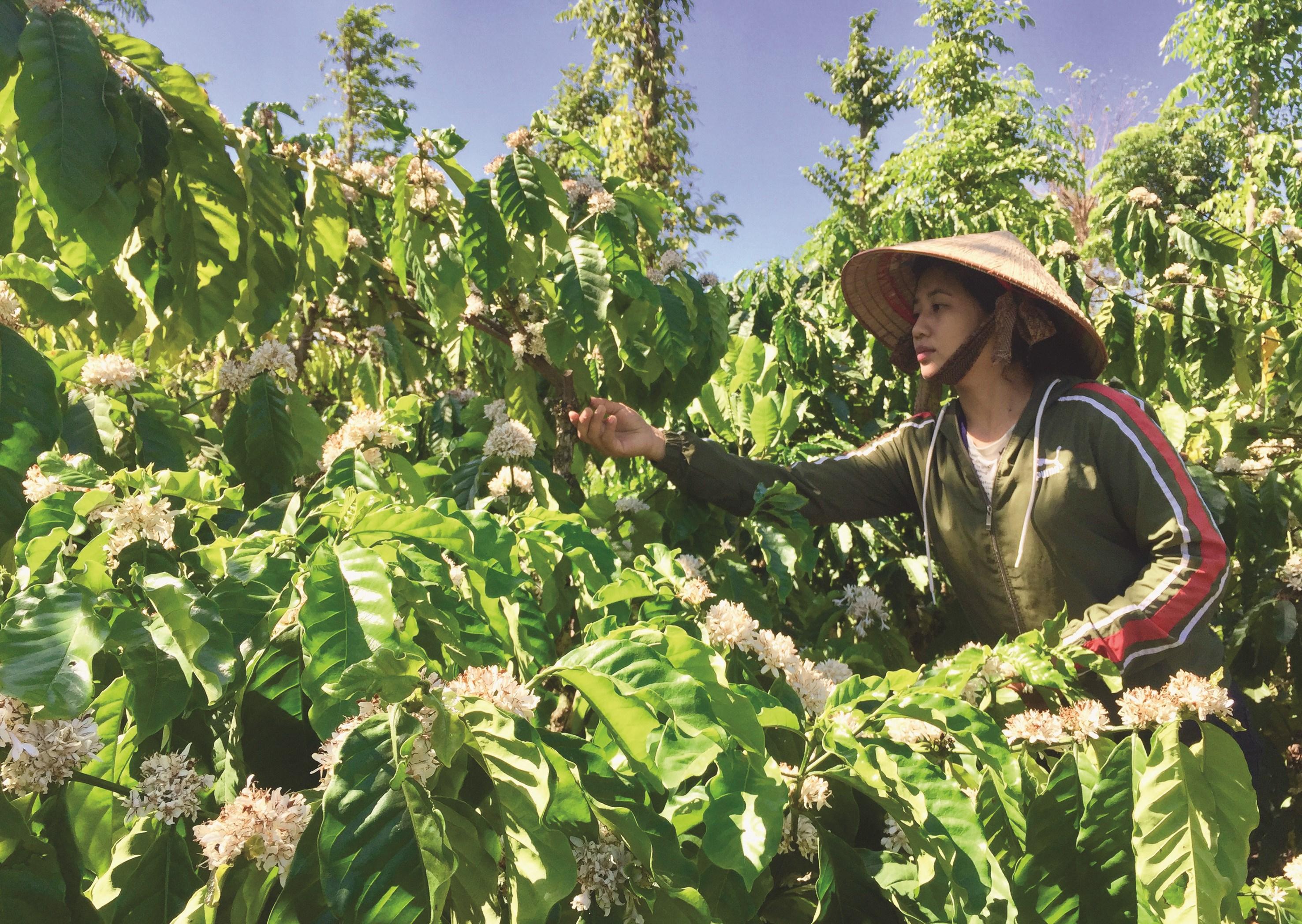 Chị Bàn Mùi Khe đang chăm sóc vườn cà phê của gia đình. Ảnh T.Dũng