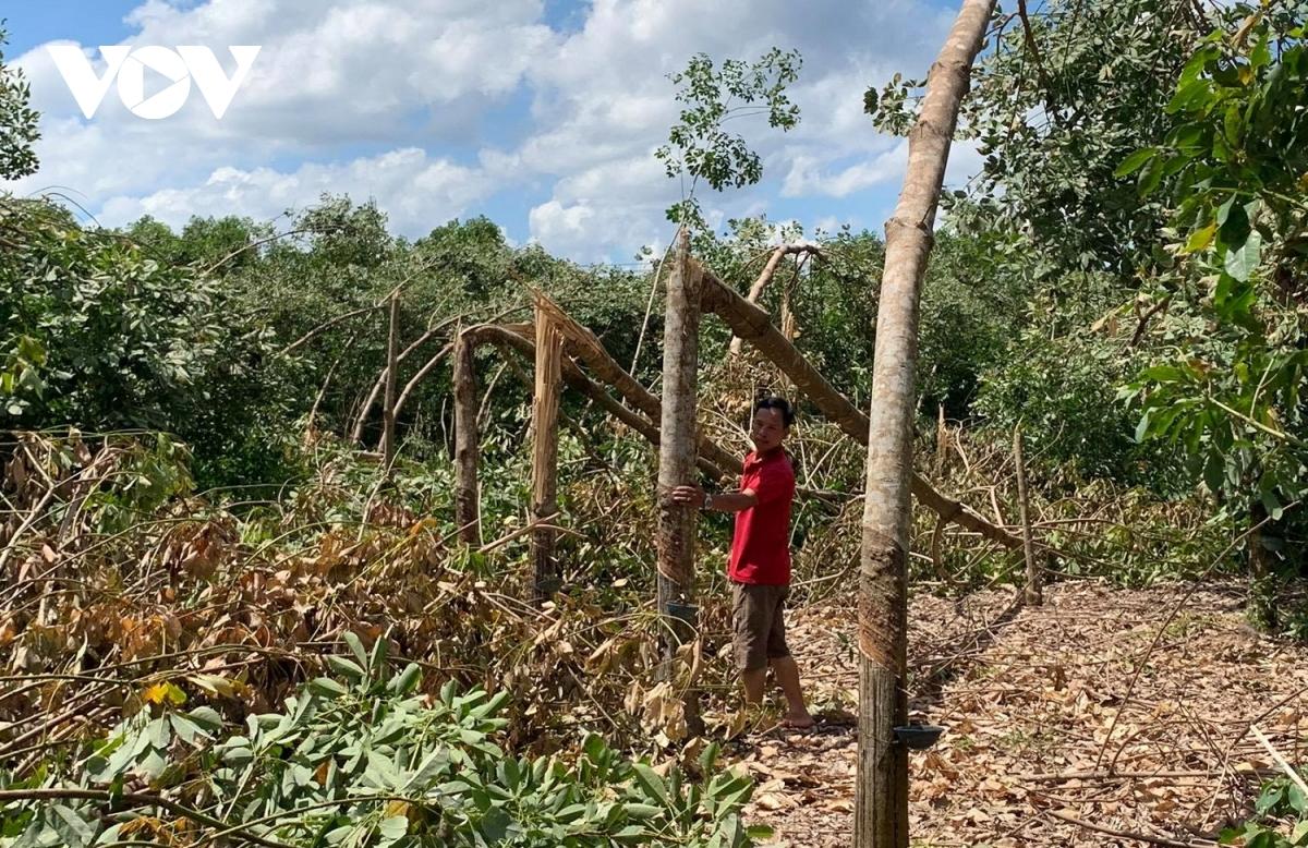 Những vườn cao su của người bị bão số 5 tàn phá